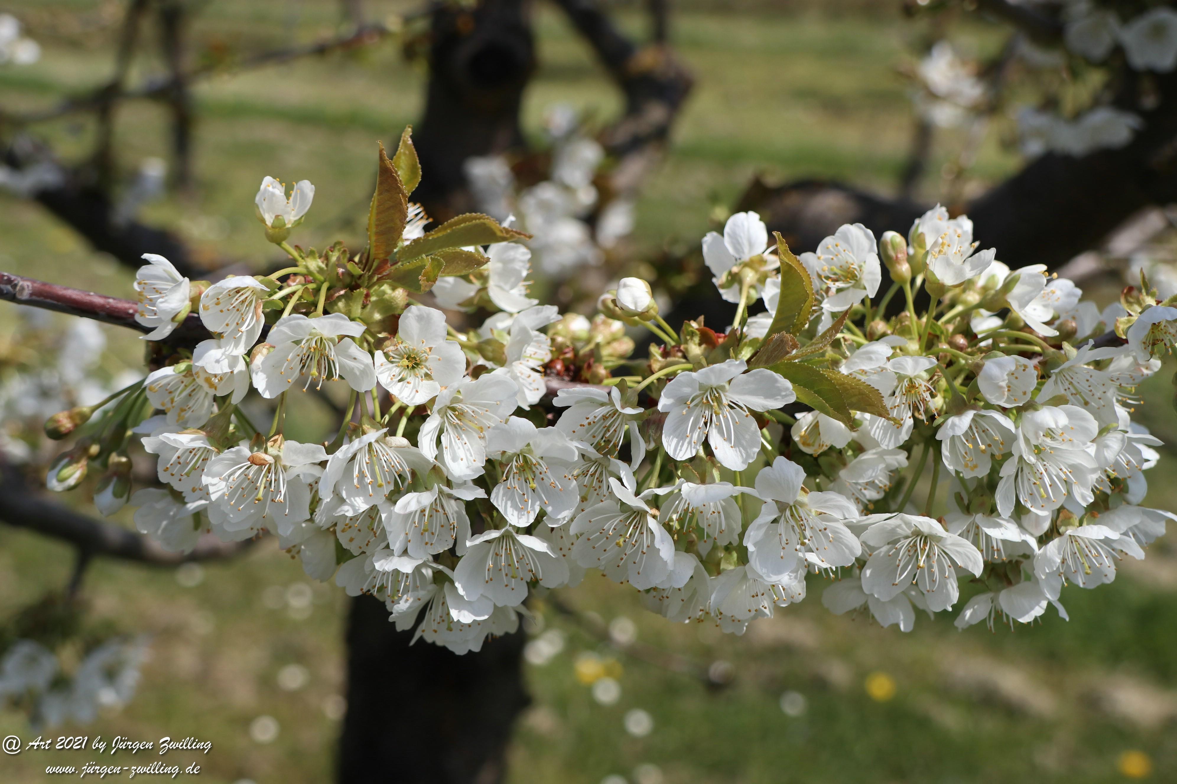 Kirschbaumblüte 10
