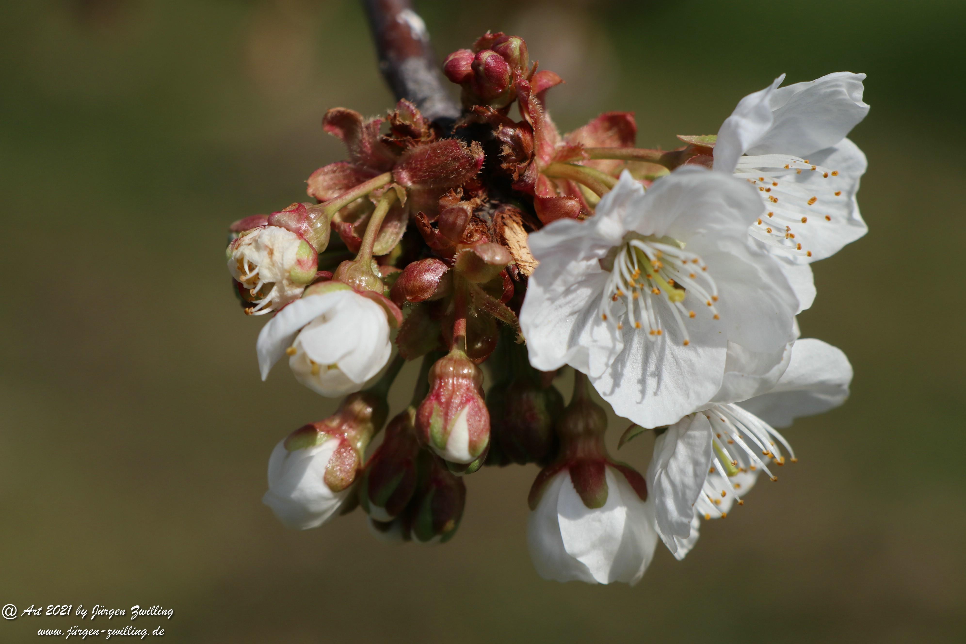 Kirschbaumblüte 11