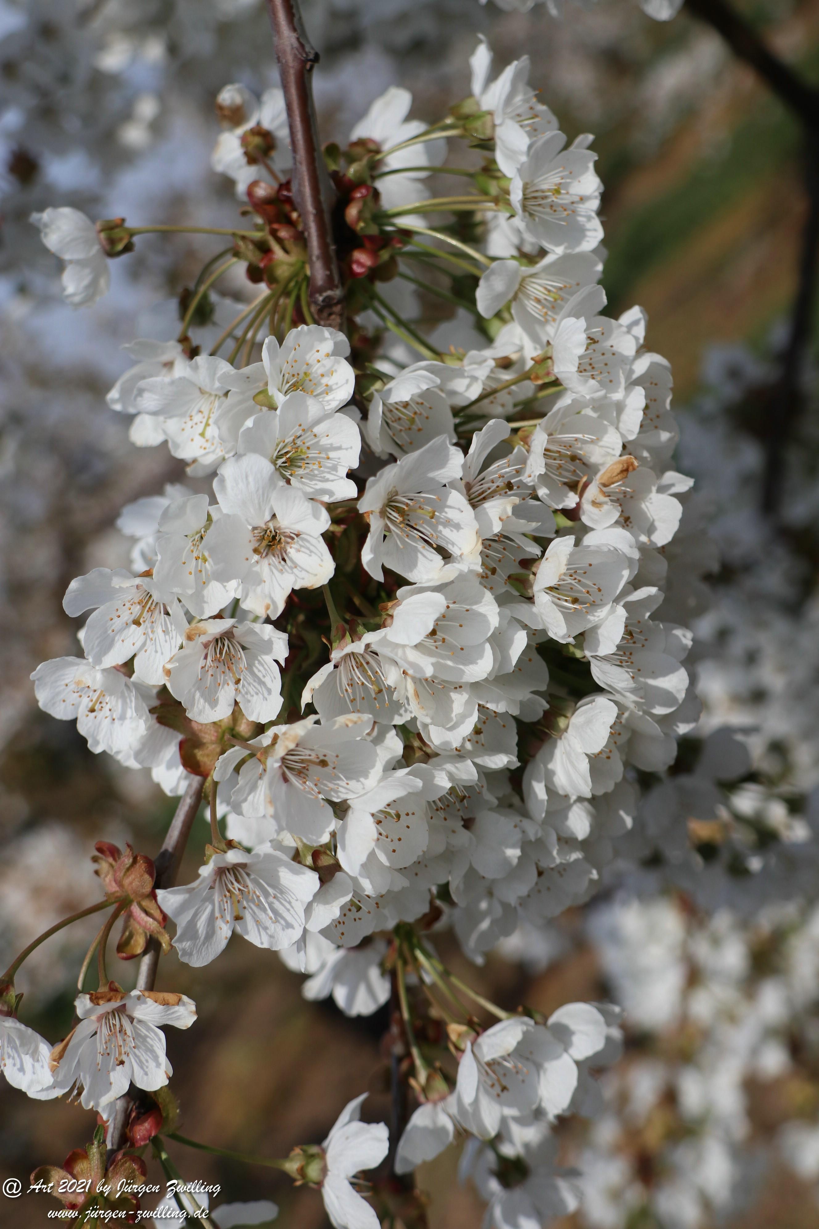 Kirschbaumblüte 13