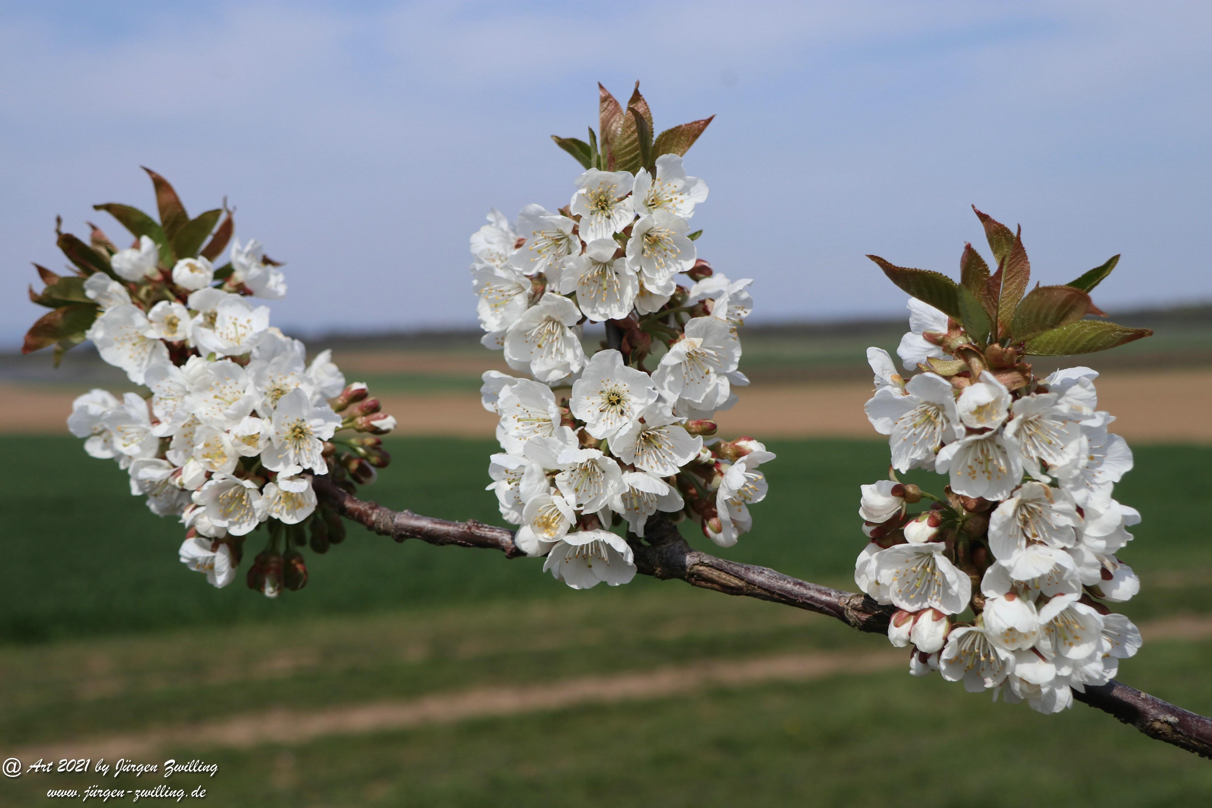 Kirschbaumblüte 16