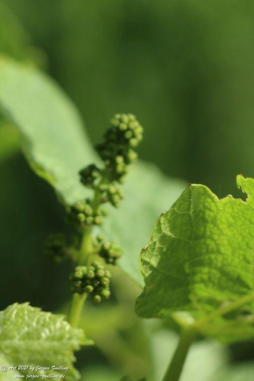 Junger Wein - Hackenheim - Rheinessen
