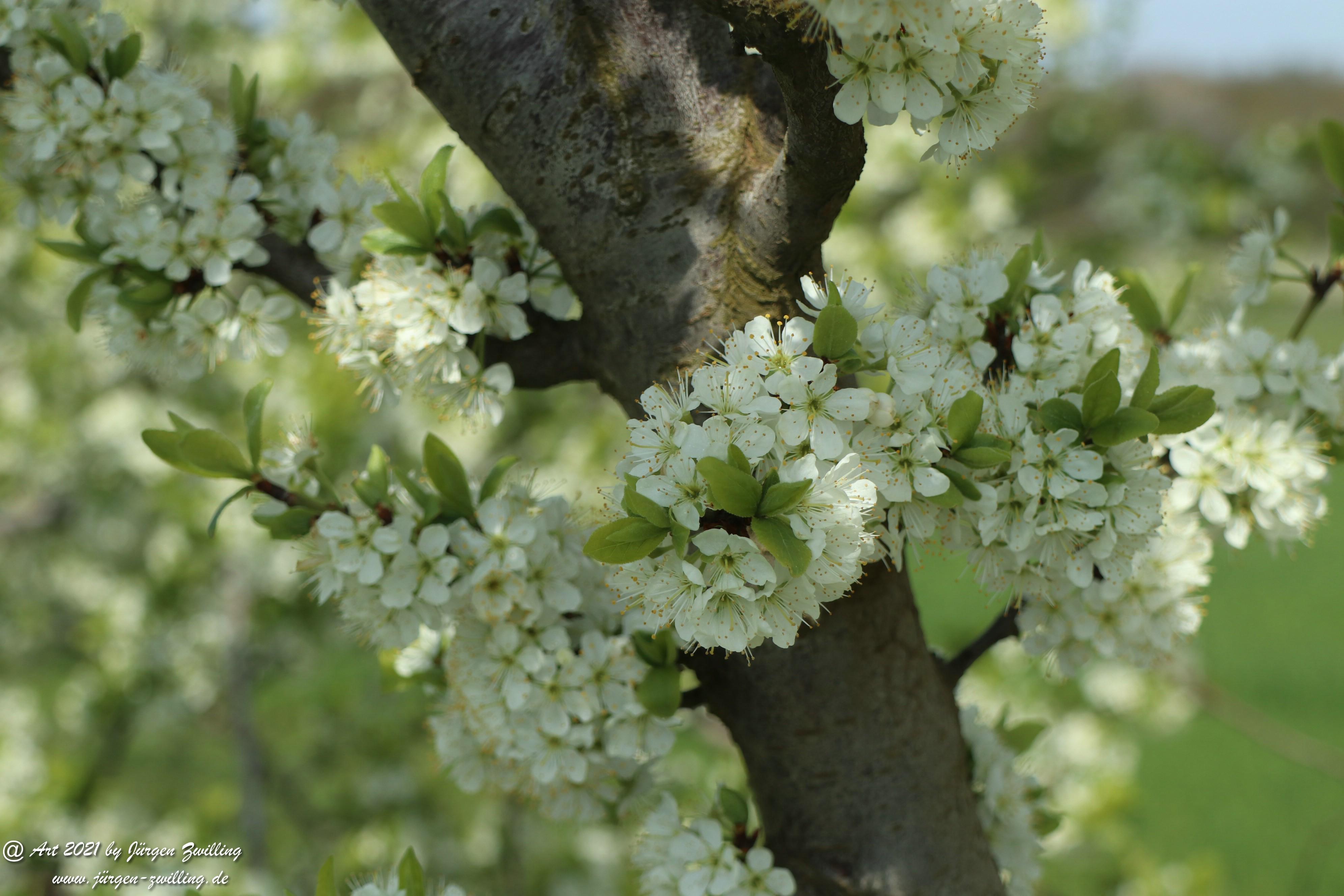 Mirabellenblüte 1