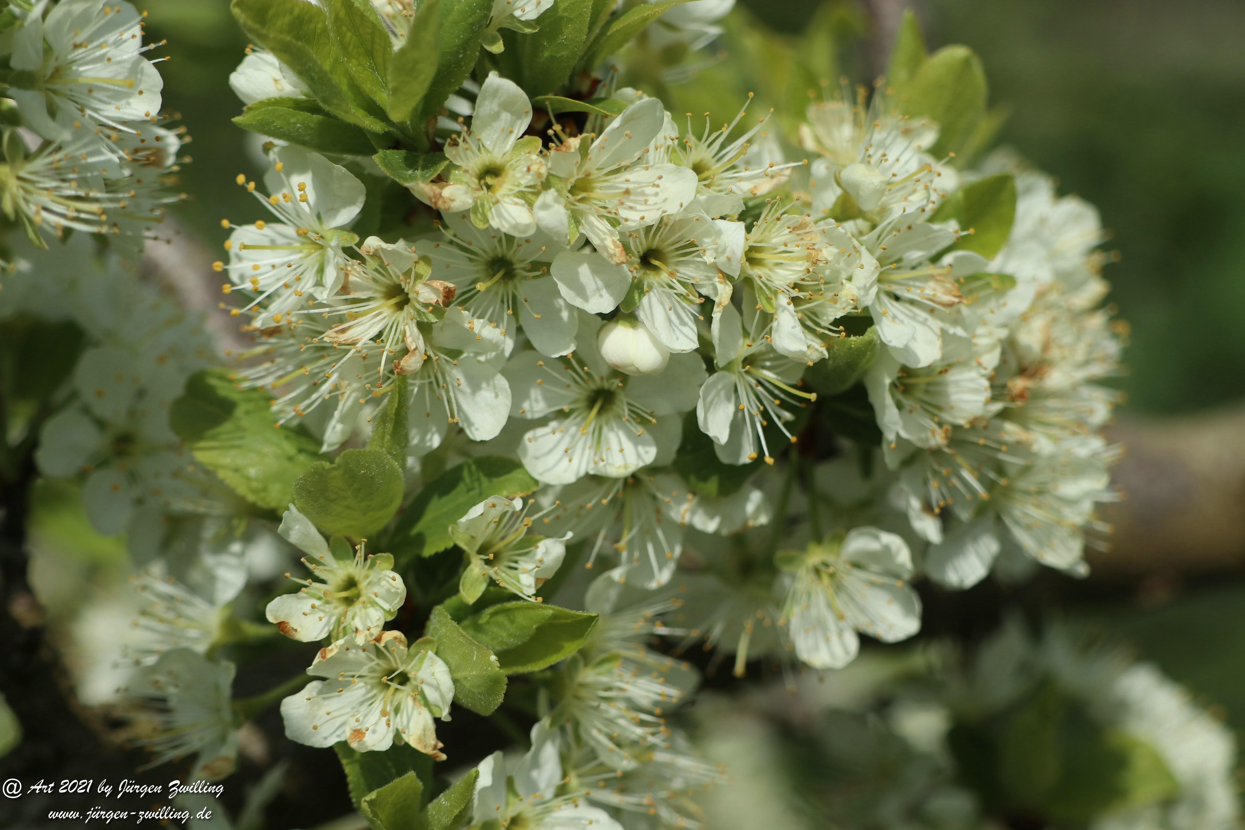 Mirabellenblüte 3
