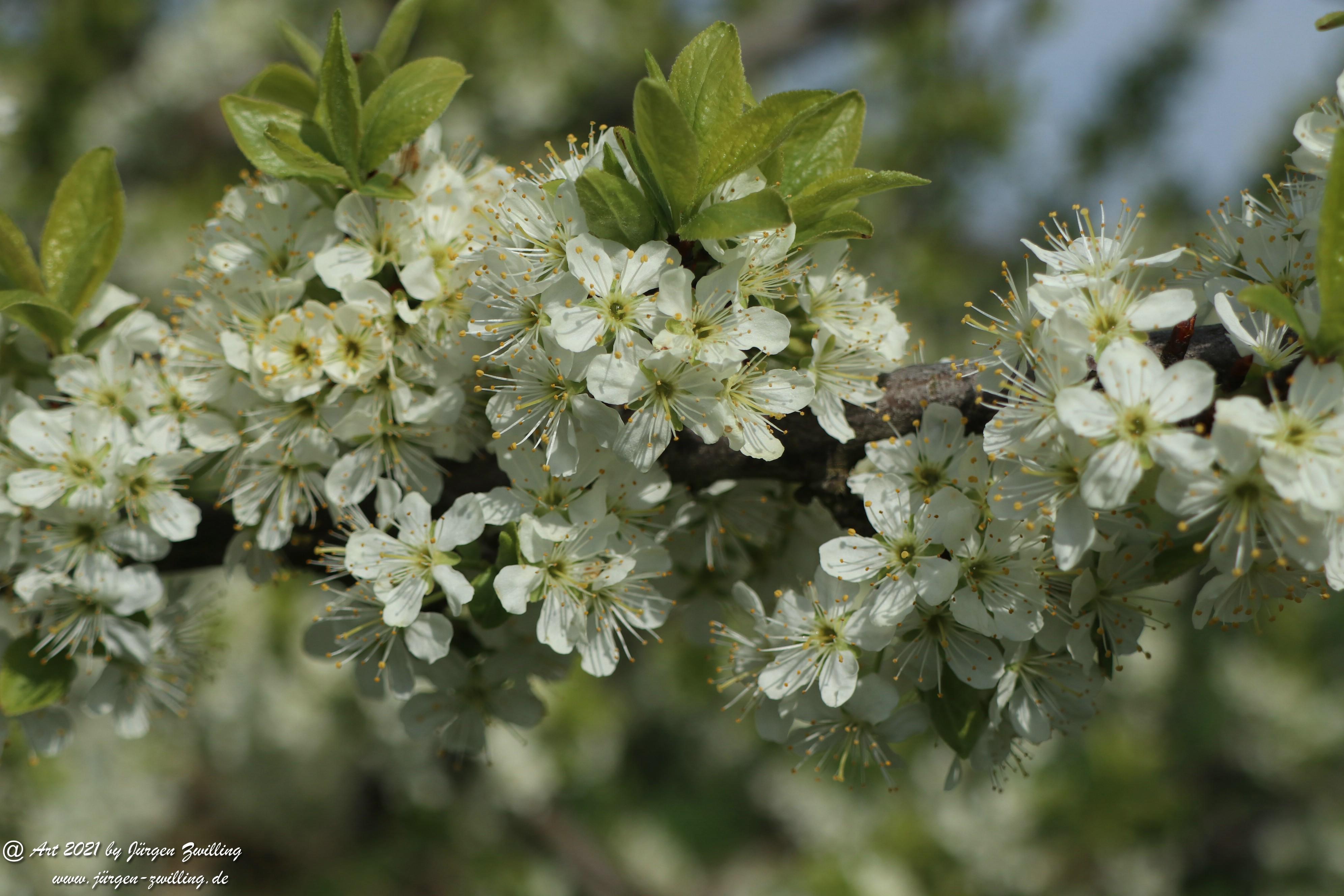 Mirabellenblüte 6