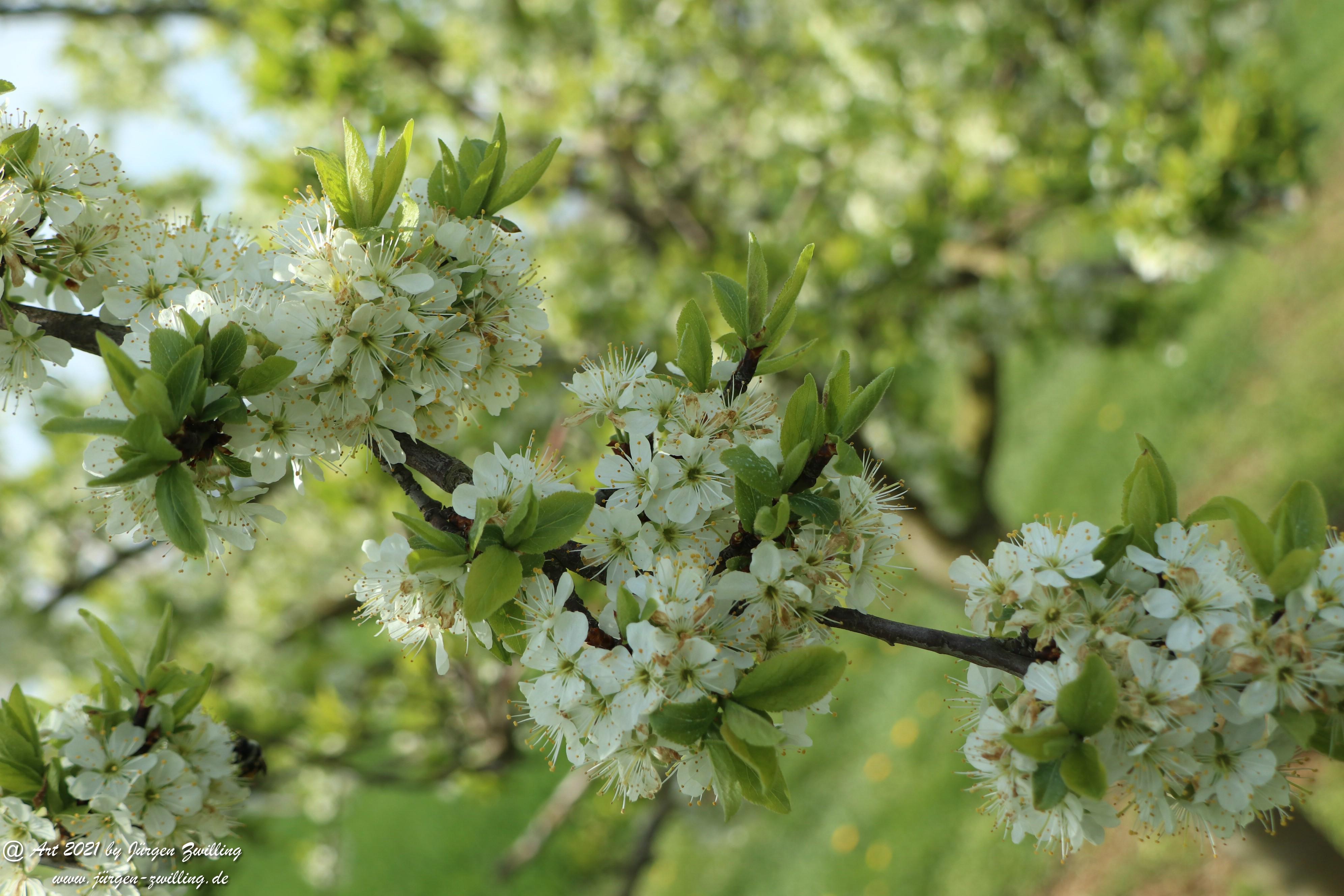 Mirabellenblüte 8