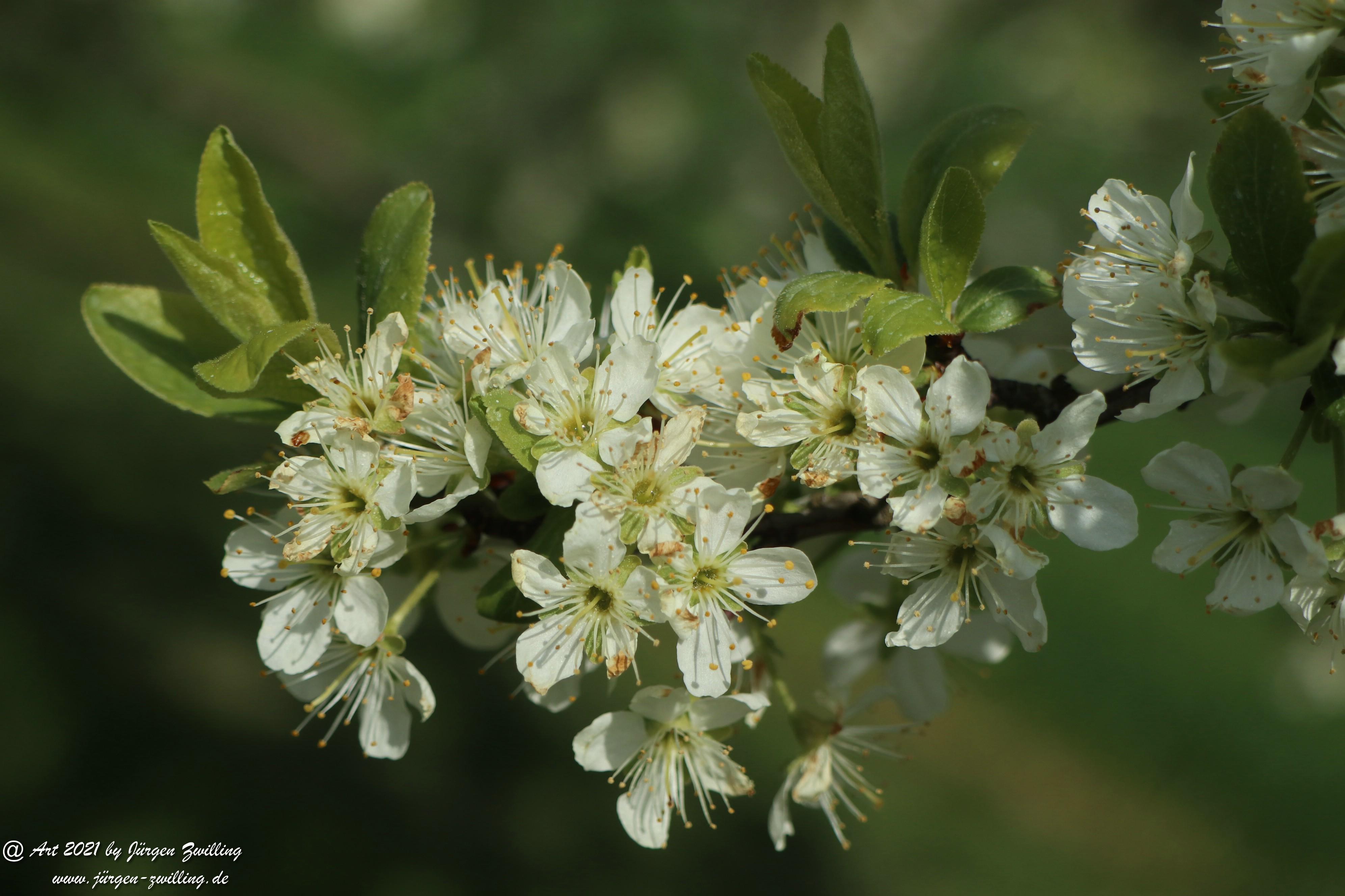 Mirabellenblüte 10