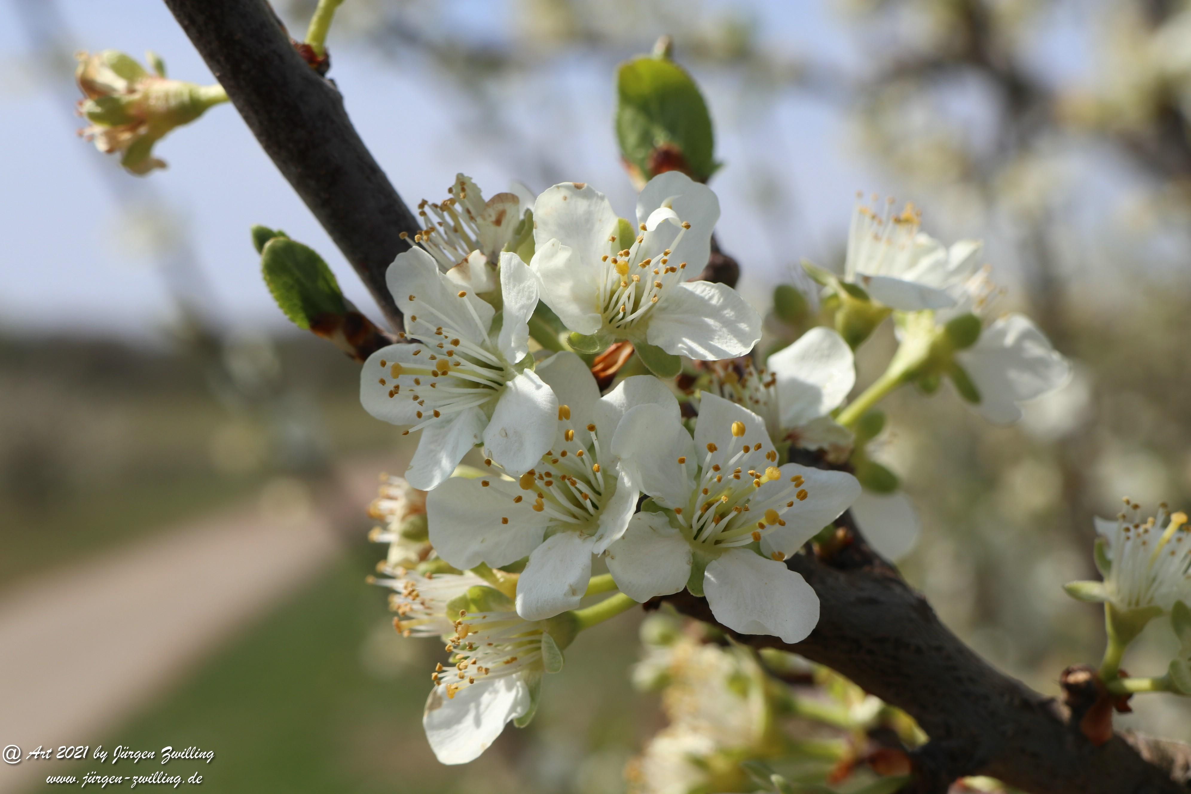 Pflaumenblüte  2