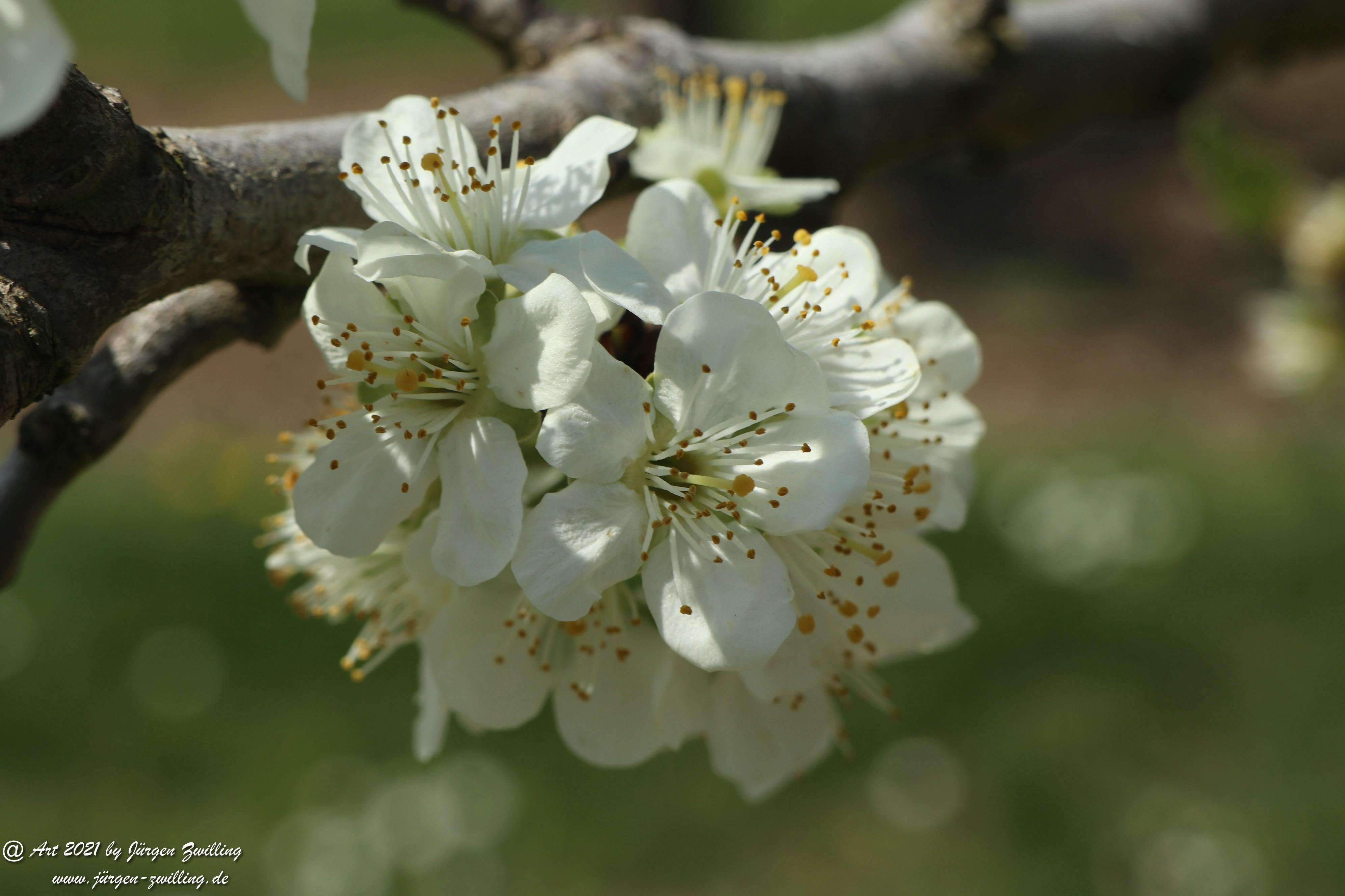 Pflaumenblüte  4