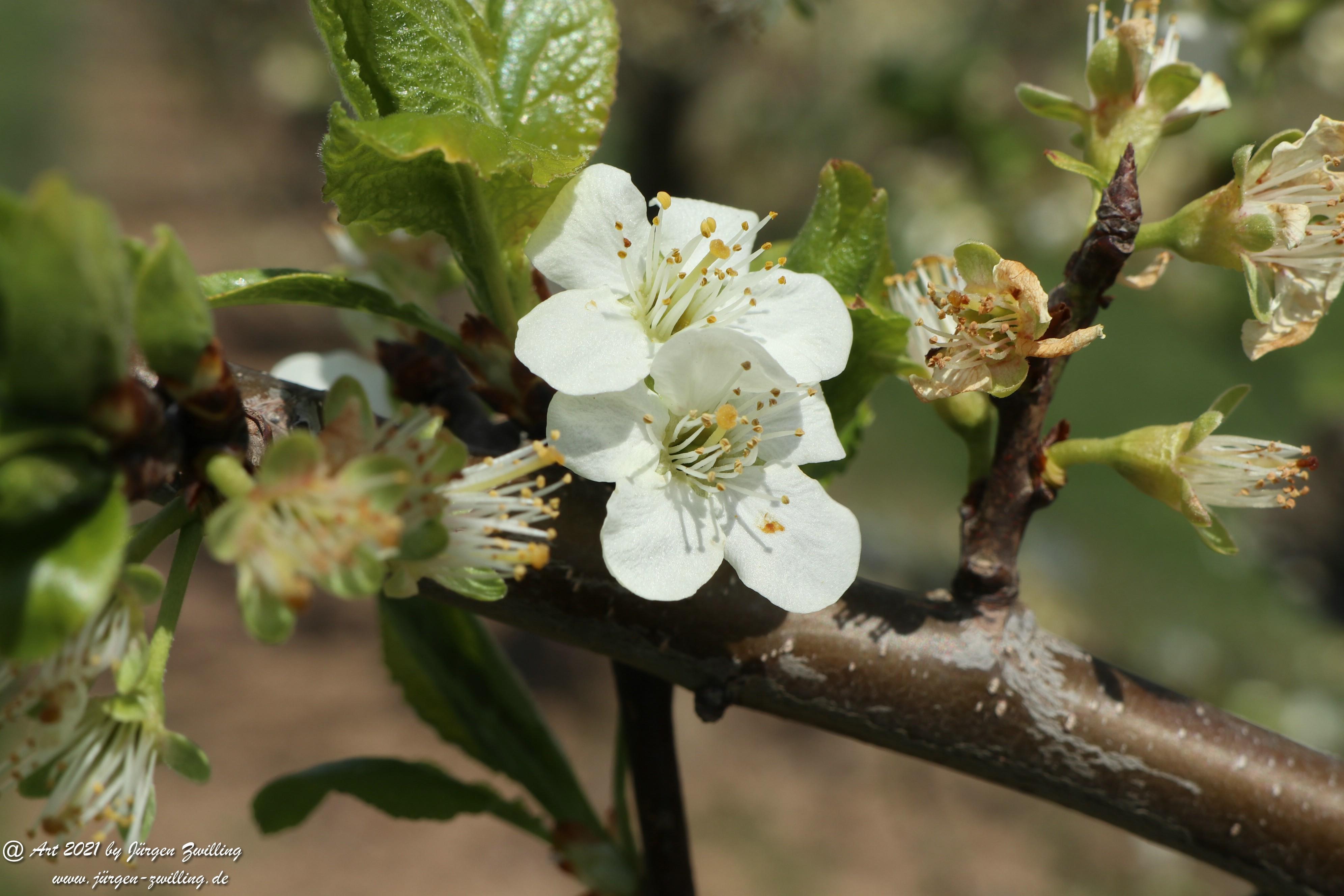 Pflaumenblüte  5