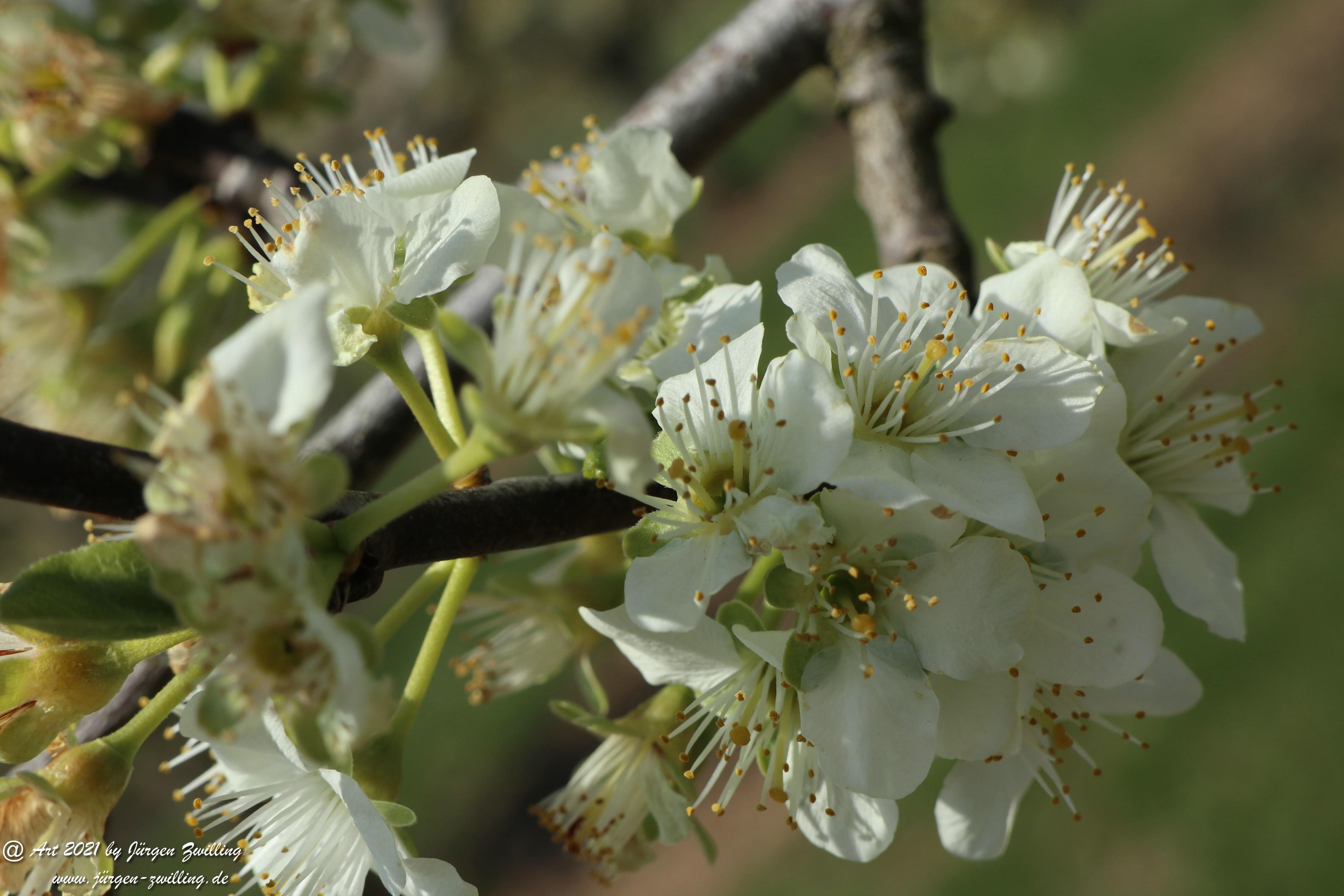 Pflaumenblüte  8