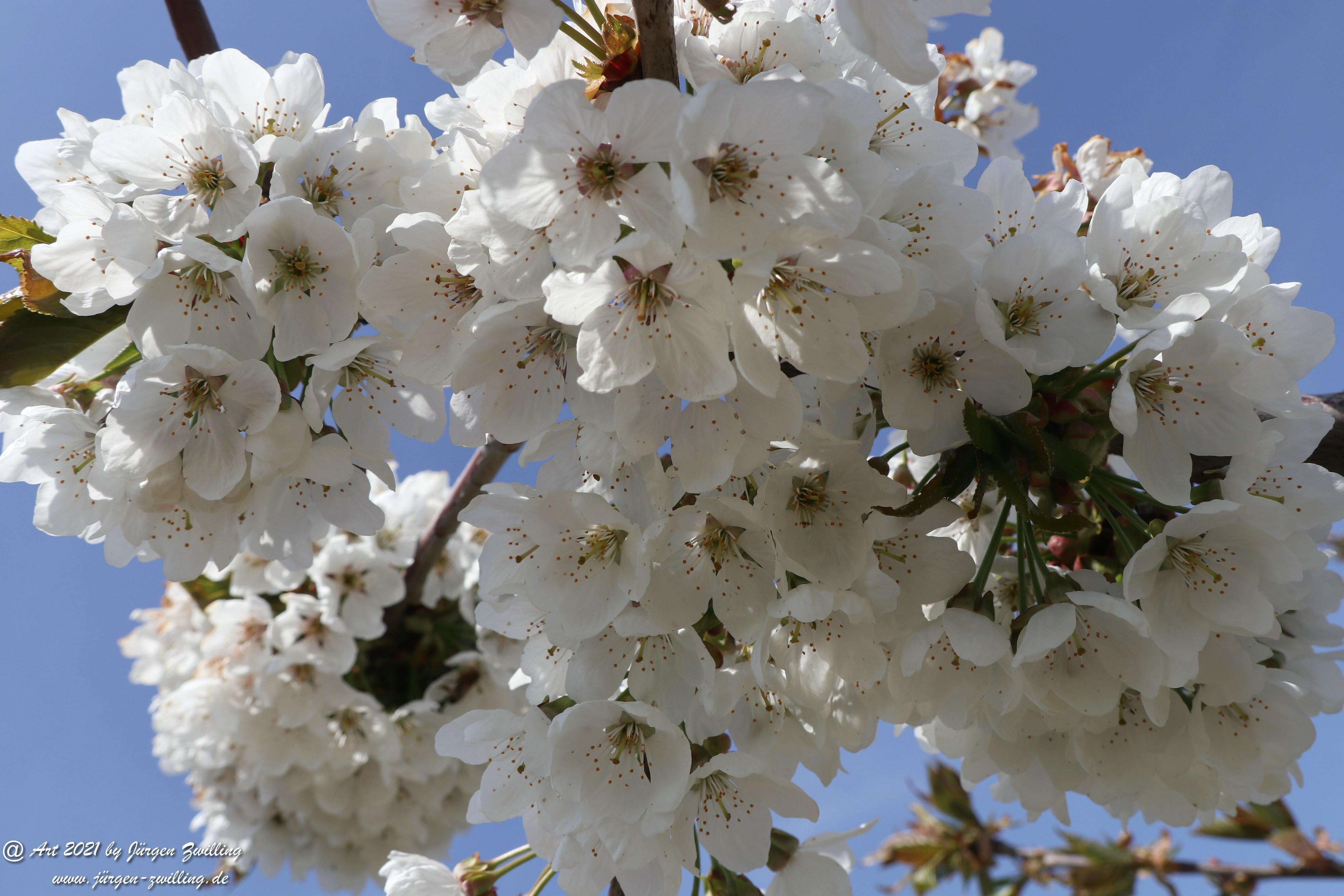 Pflaumenblüte  9