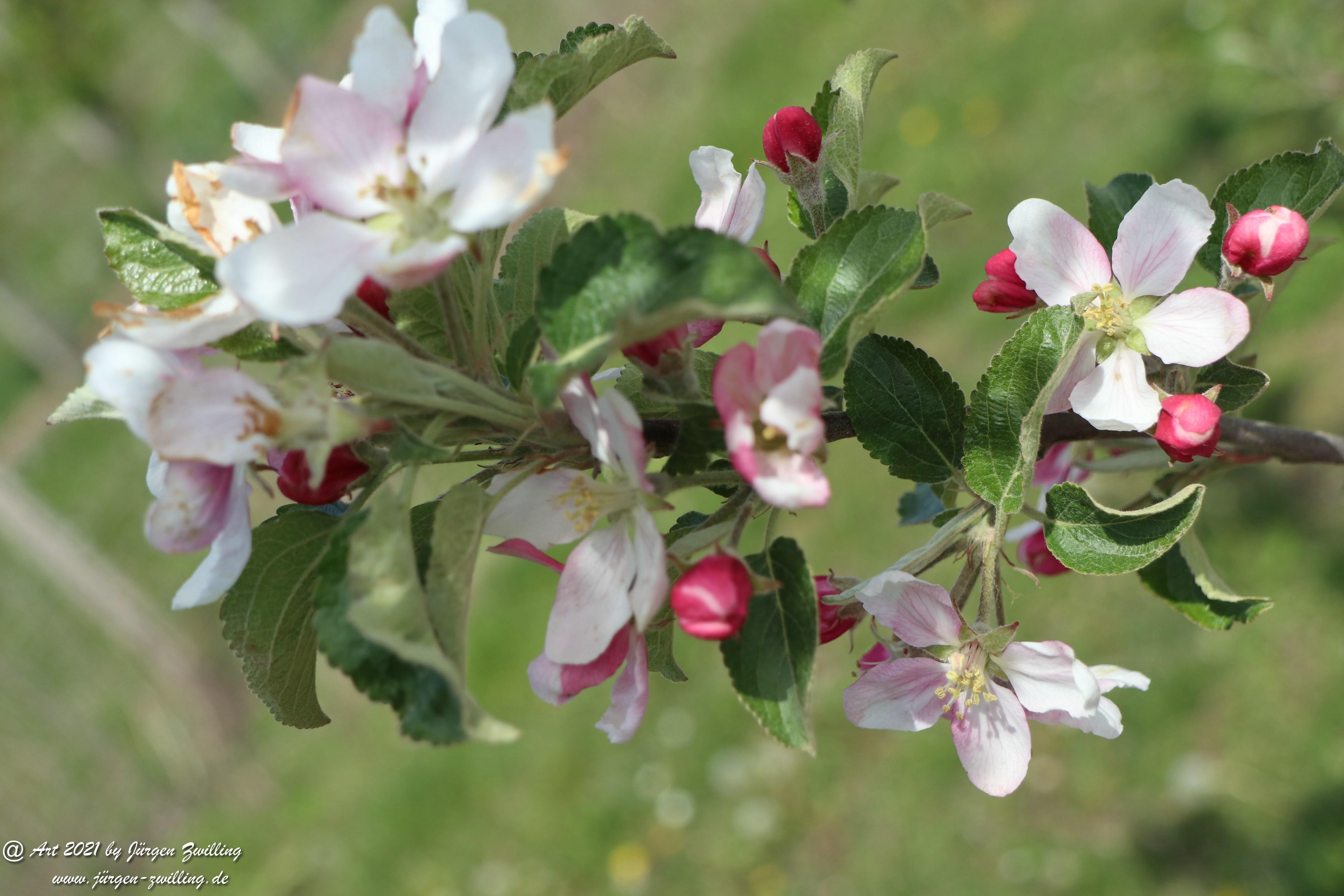Apfelbaumblüte 6