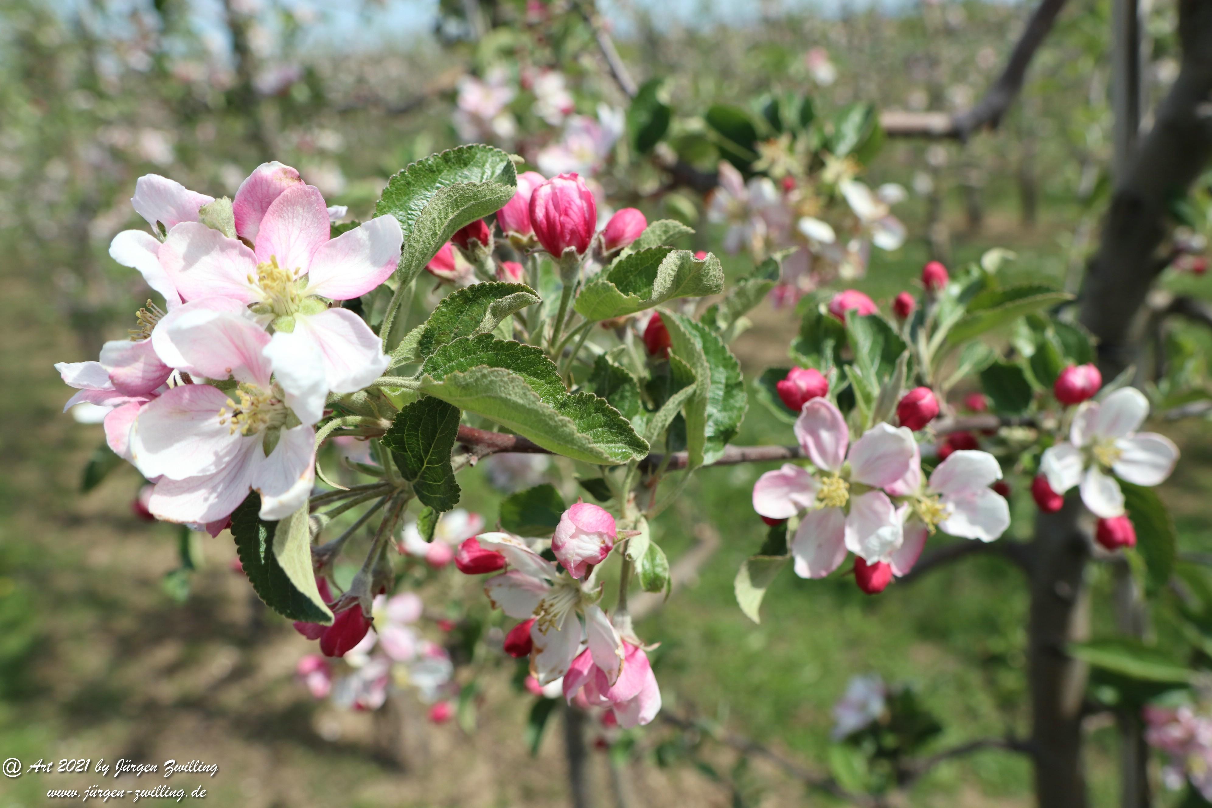 Apfelbaumblüte 7