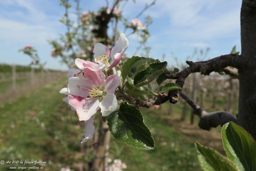 Apfelbaumblüte - Mainz Finthen - Rheinhessen