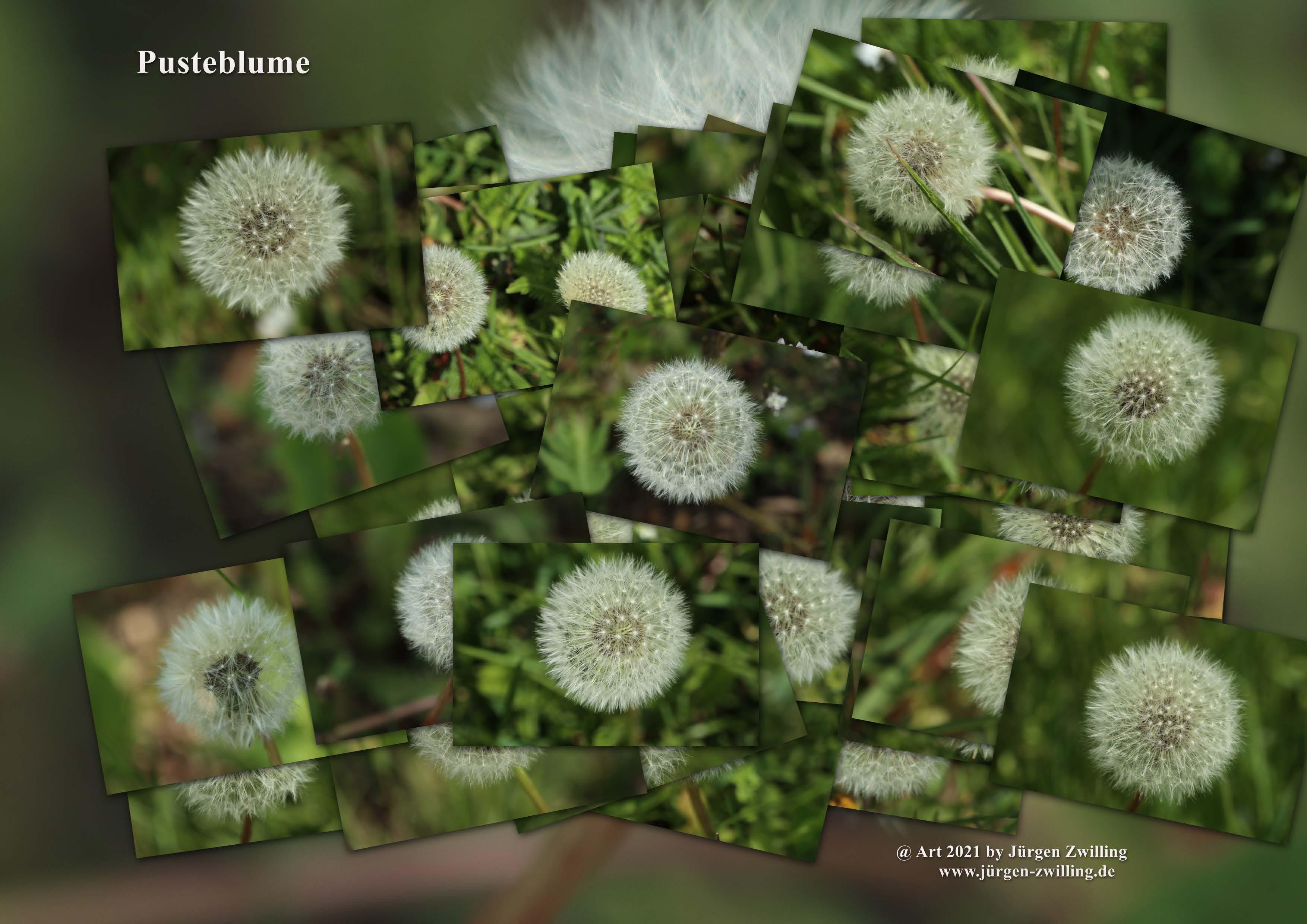Pusteblume - Korbblütler - Mainz Finthen - Rheinhessen