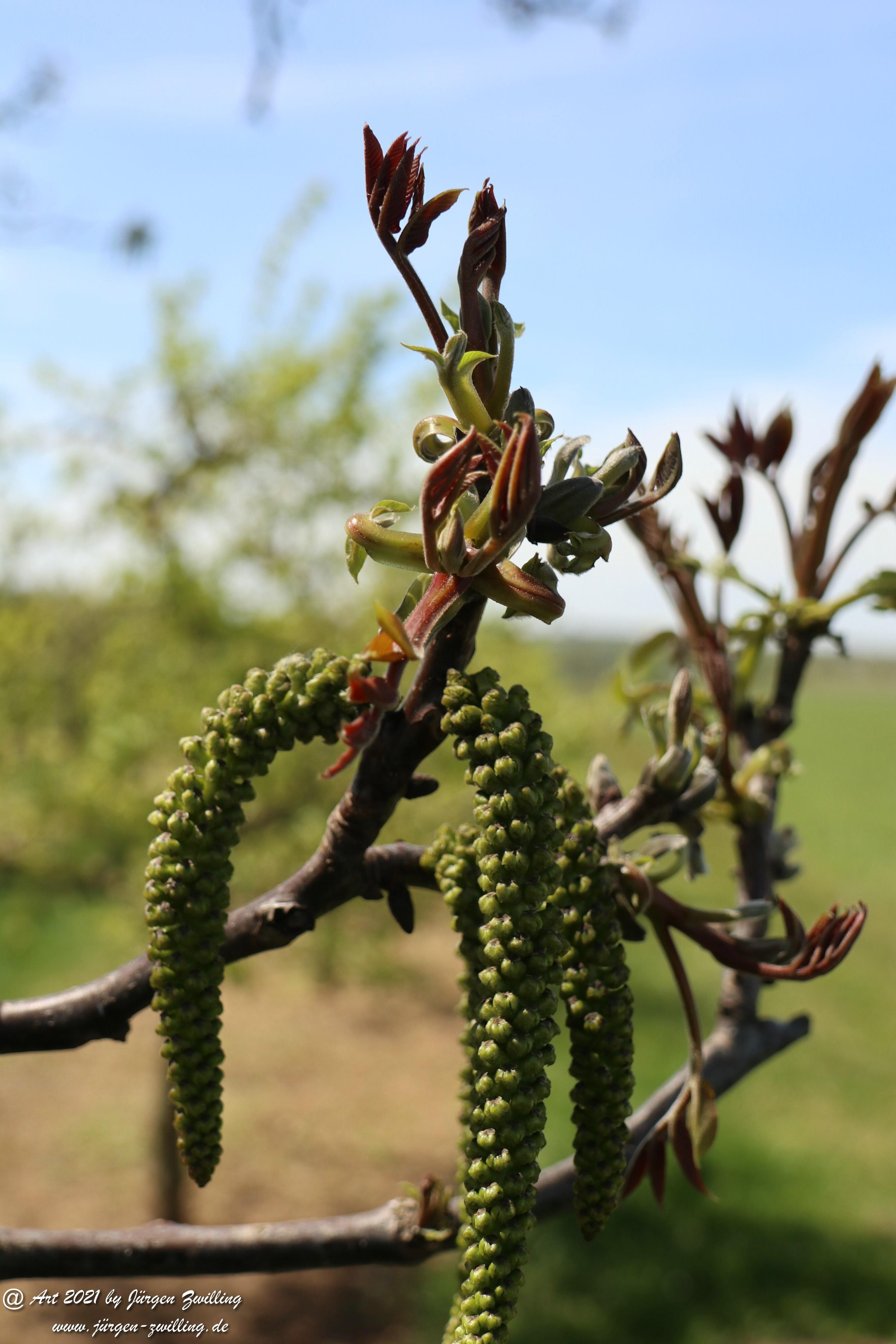 Nussbaumblüte 1