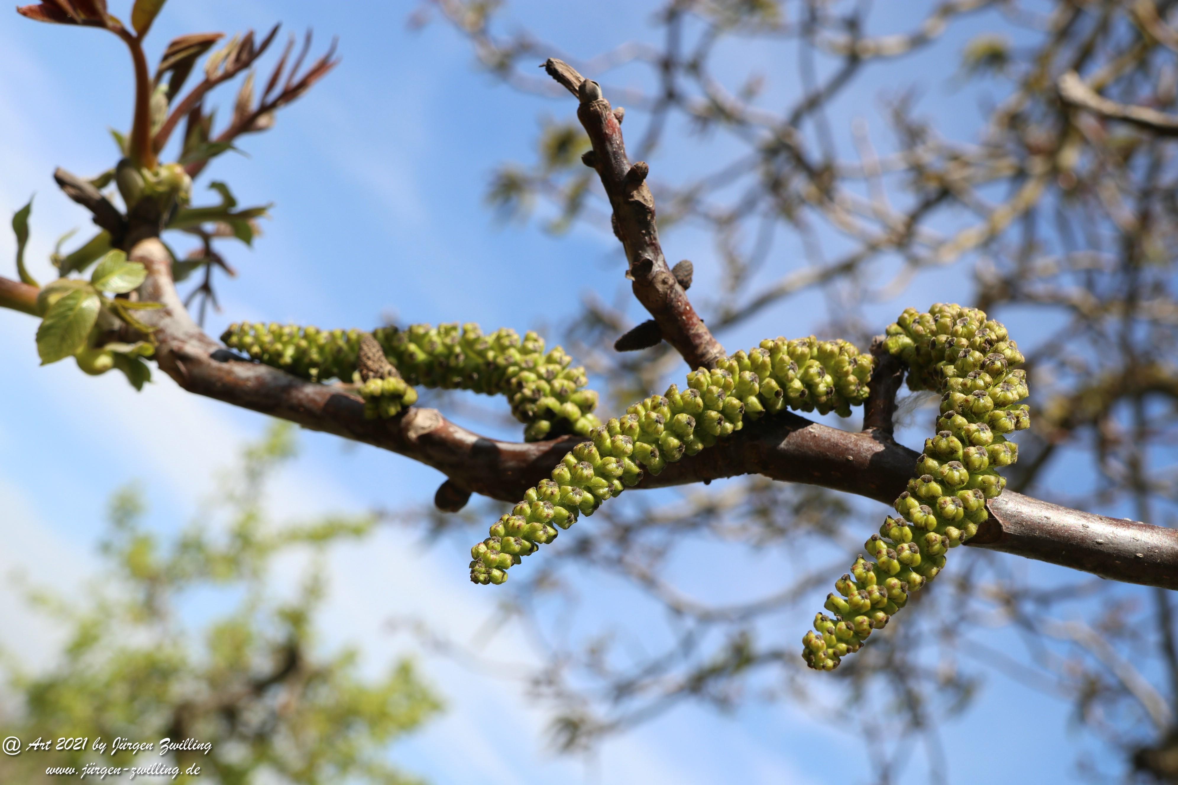 Nussbaumblüte 5
