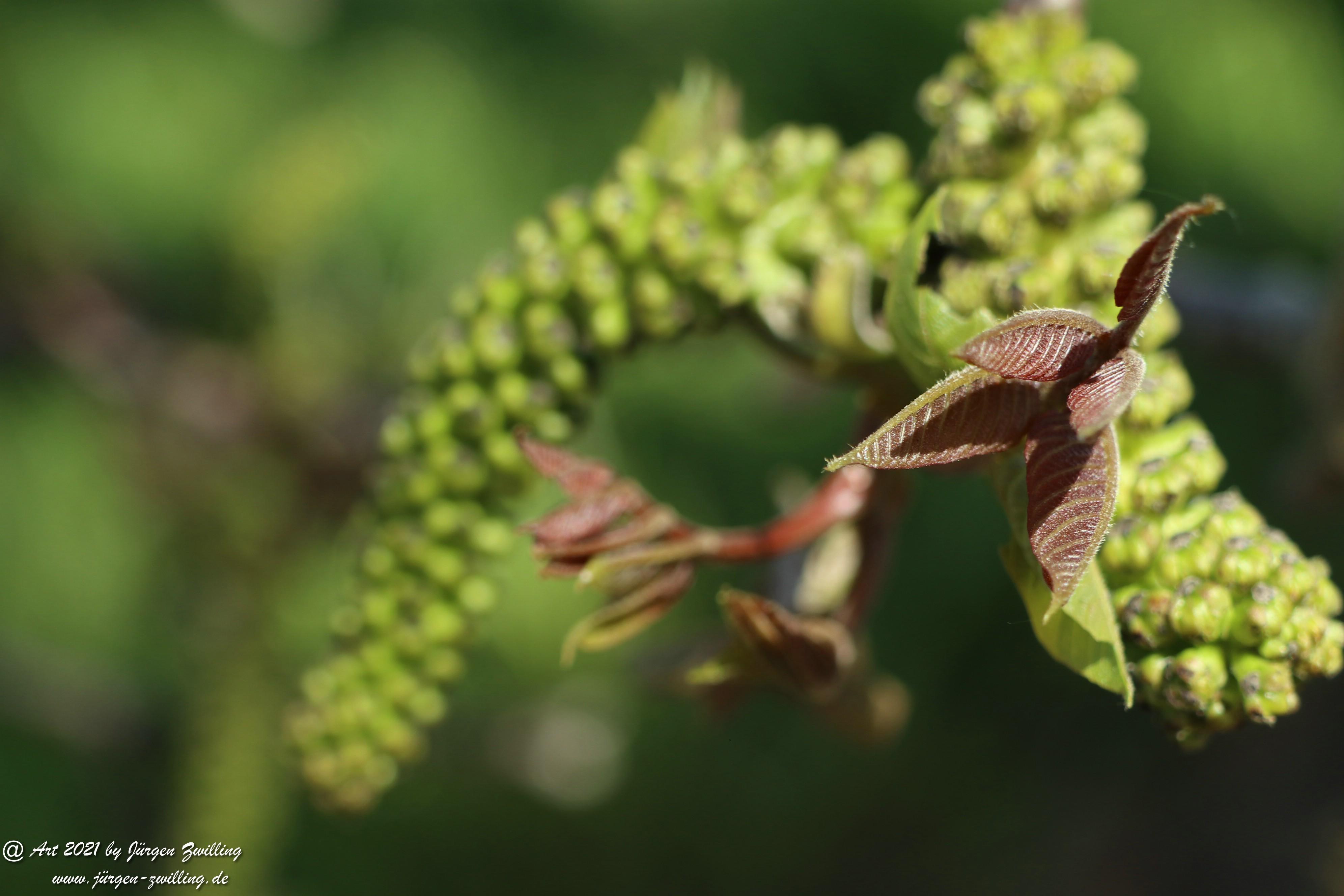 Nussbaumblüte 6