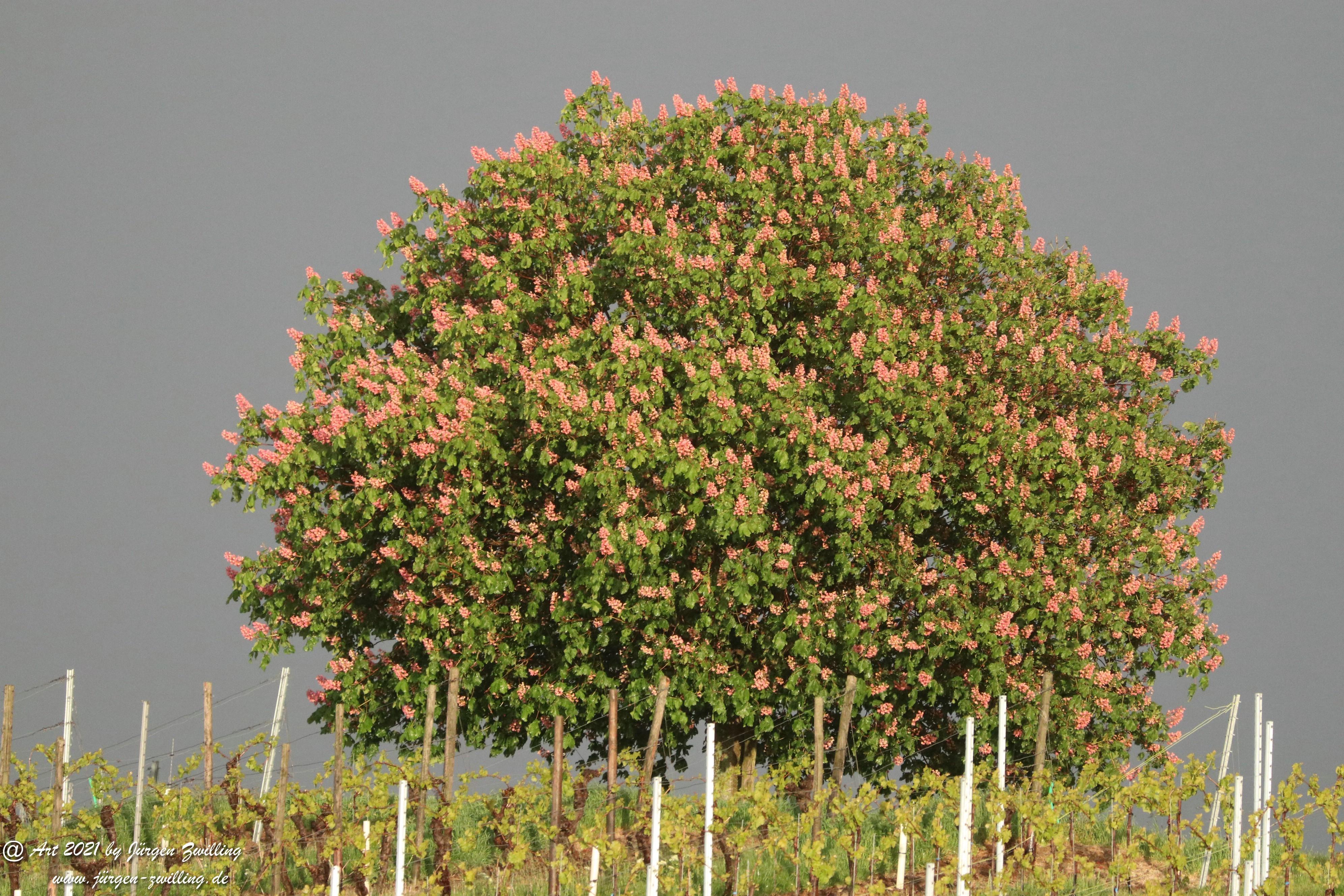 Kastanienbaum im Wingert 1