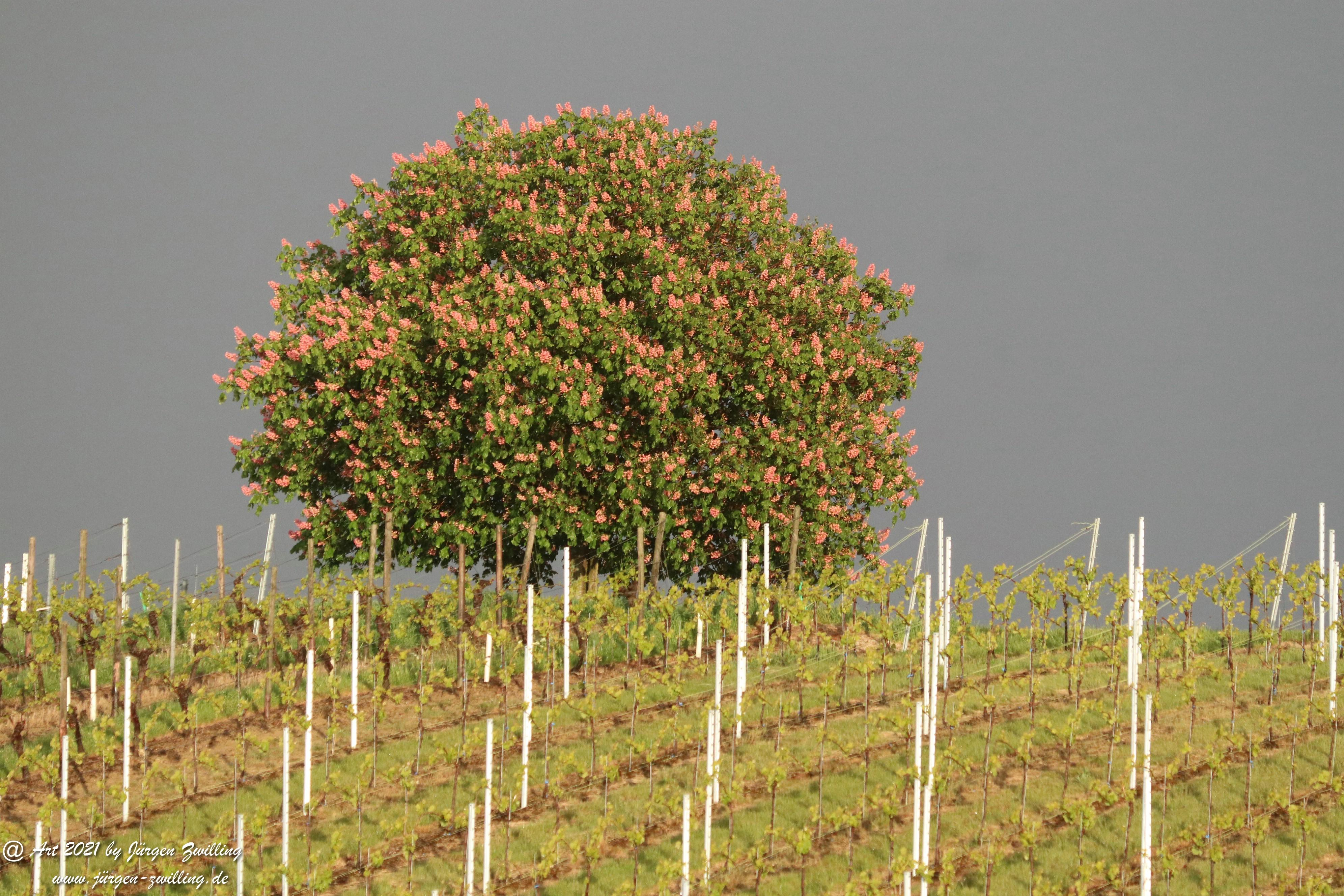 Kastanienbaum im Wingert 2
