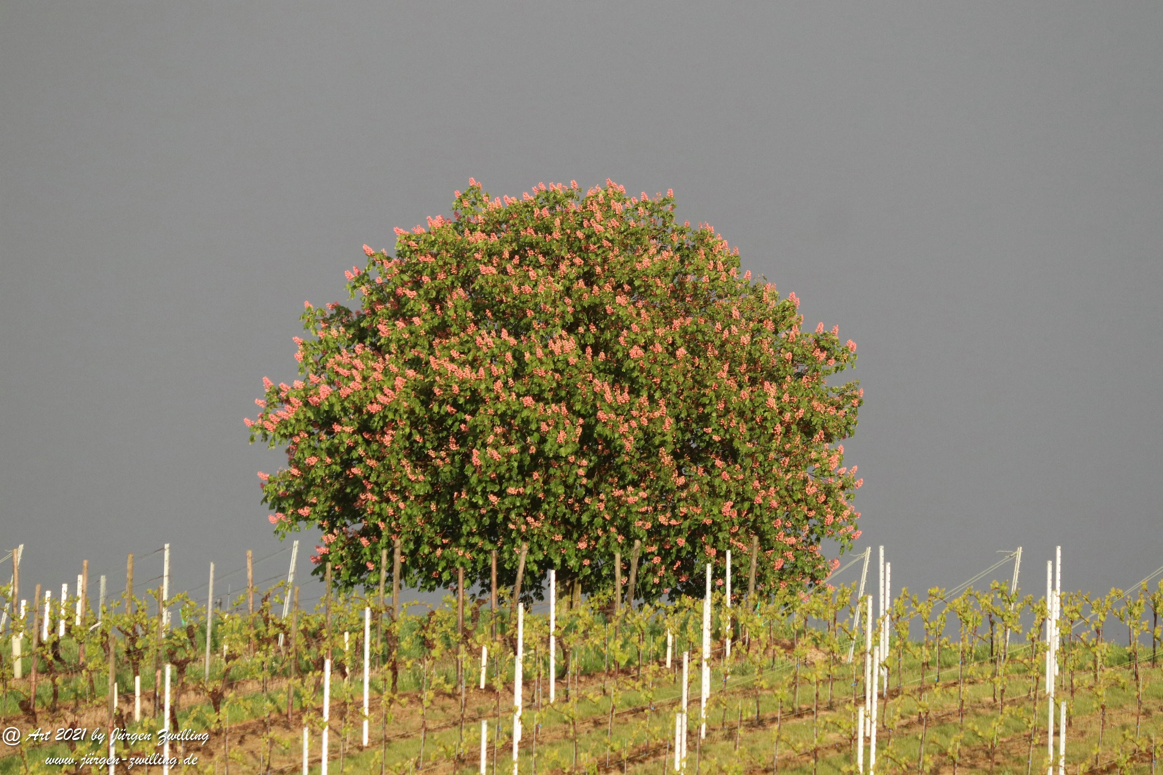 Kastanienbaum im Wingert 4