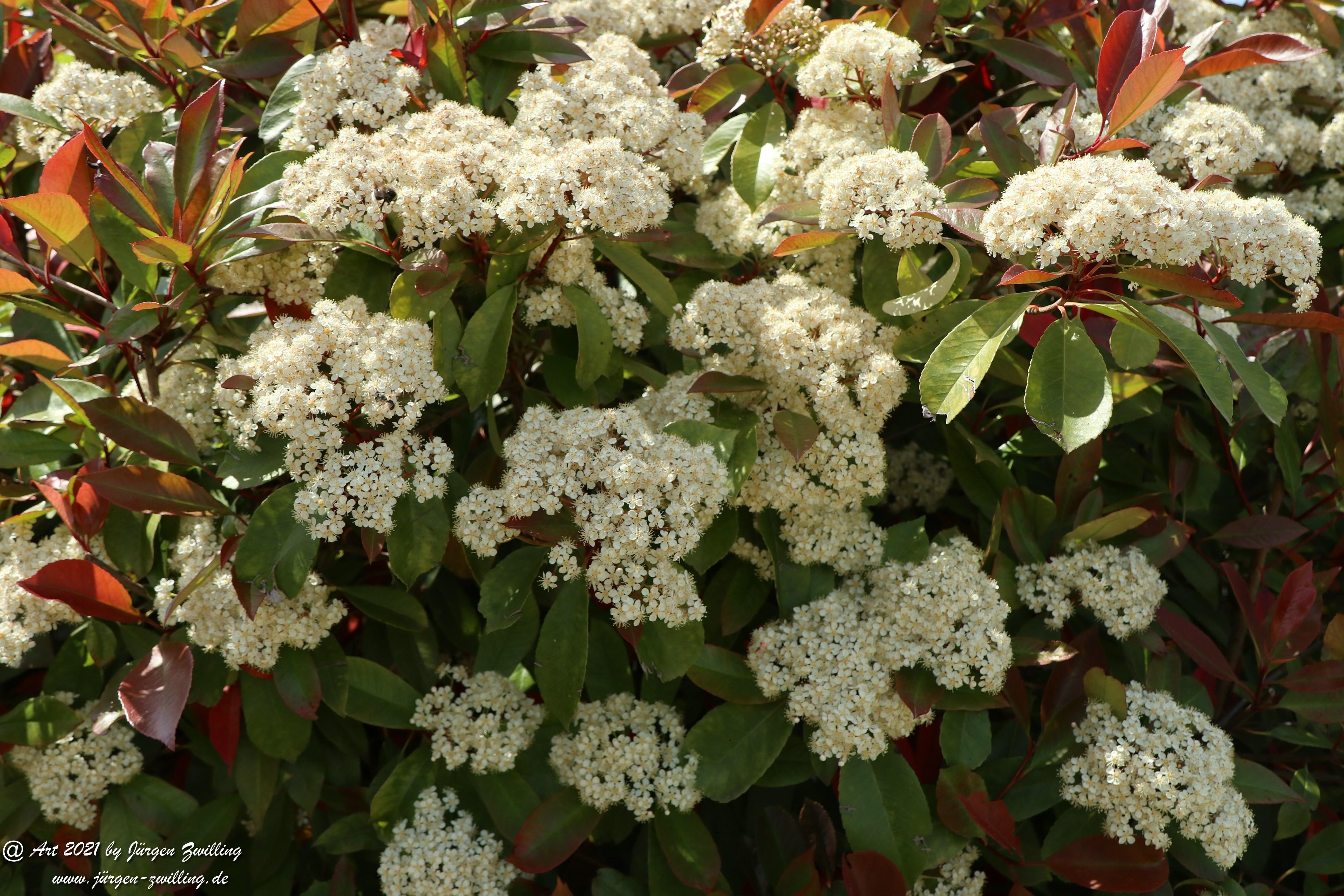 Heteromeles arbutifolia 1