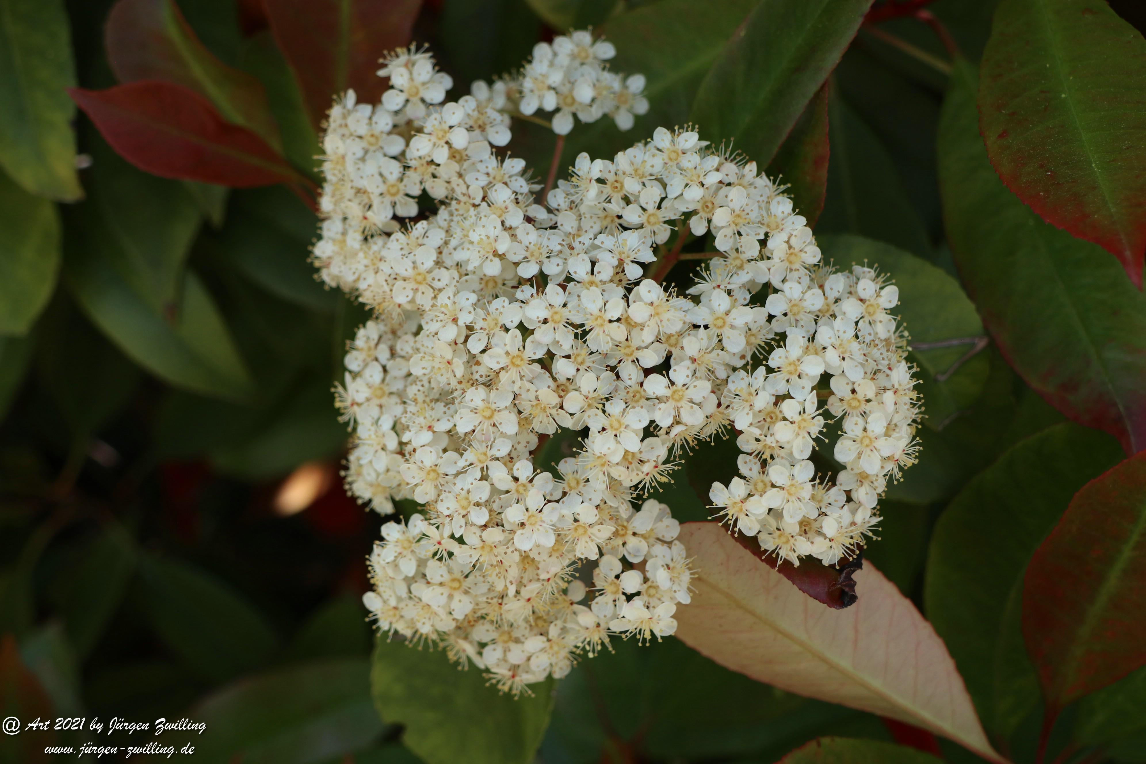 Heteromeles arbutifolia 2