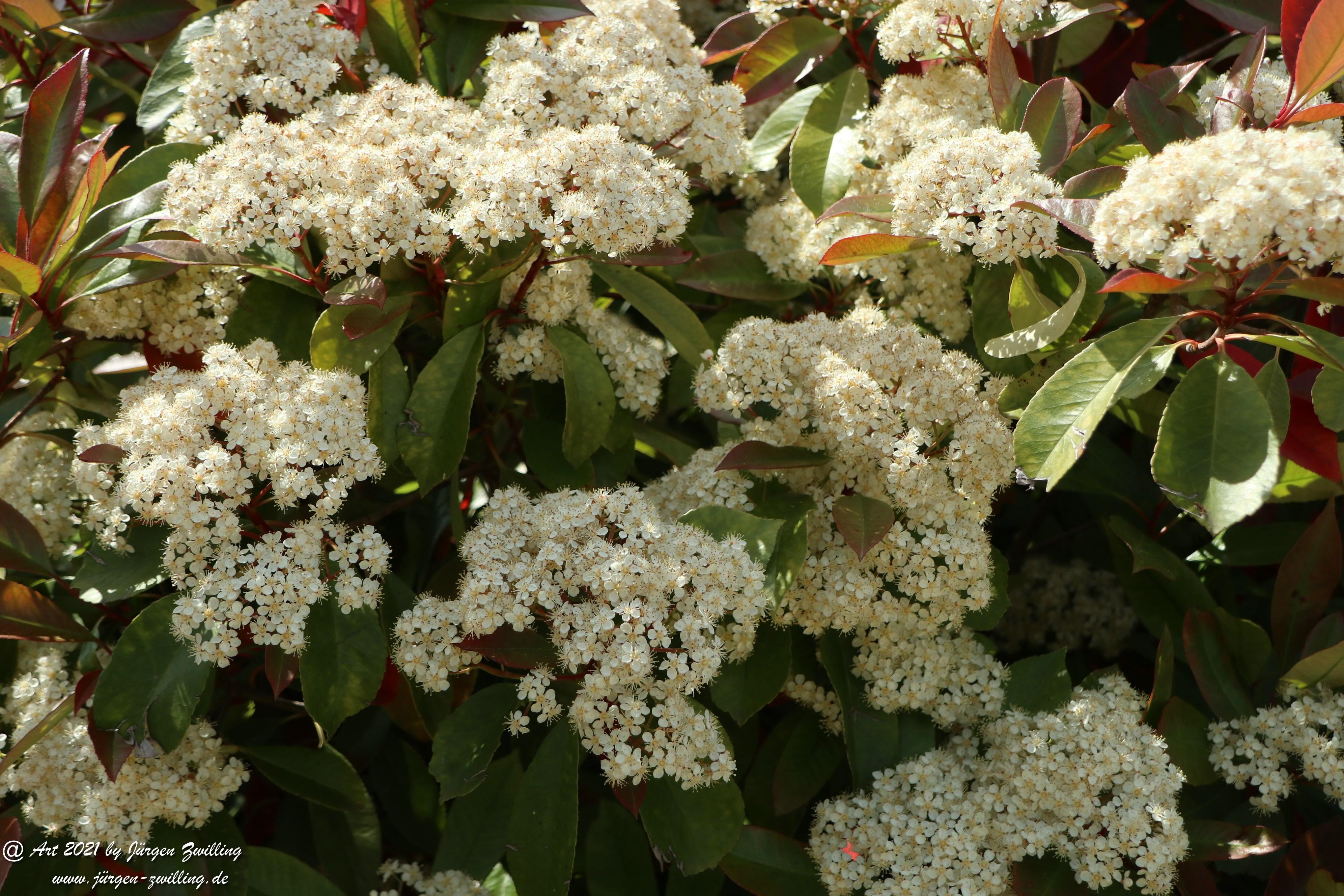 Heteromeles arbutifolia 3