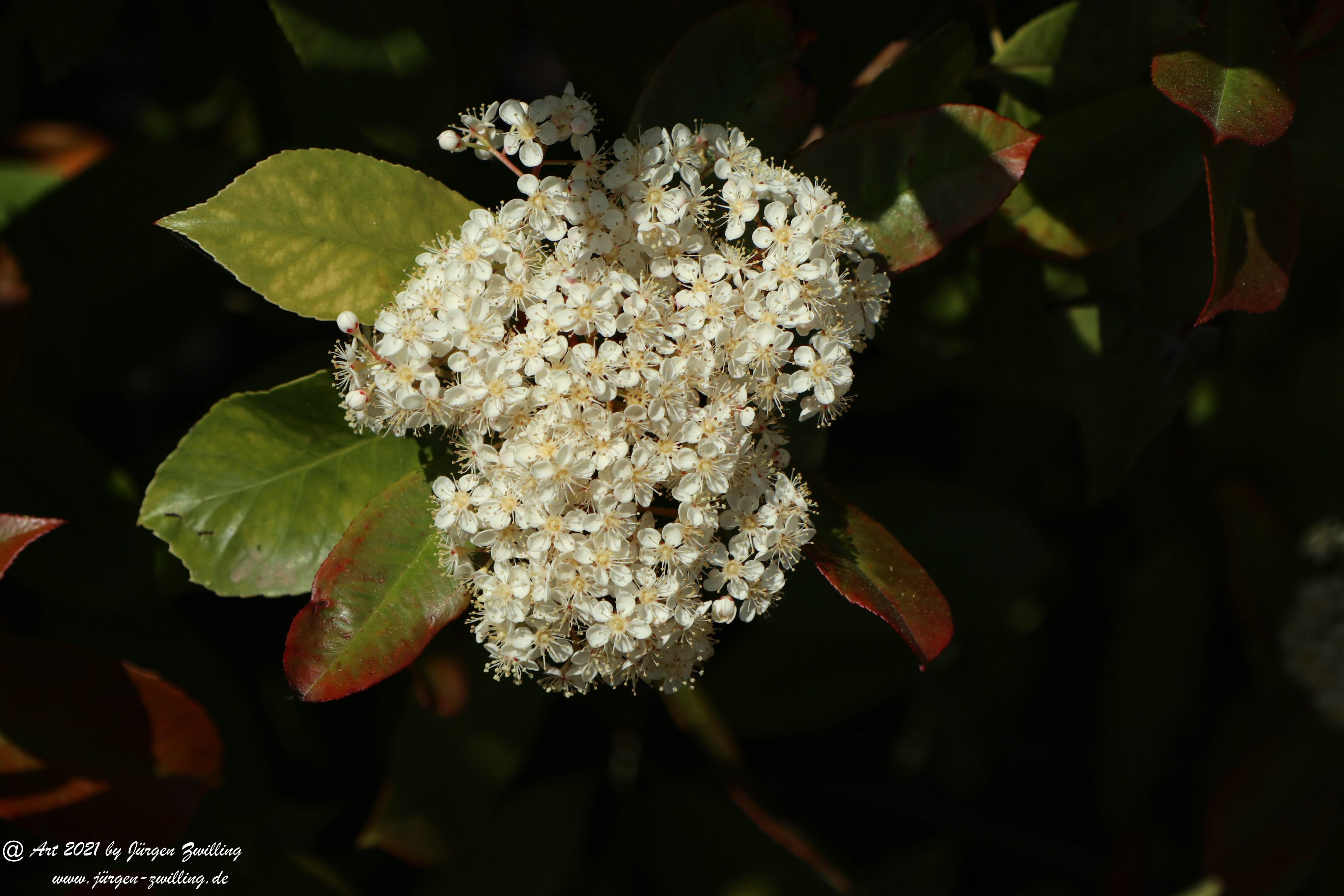 Heteromeles arbutifolia 4