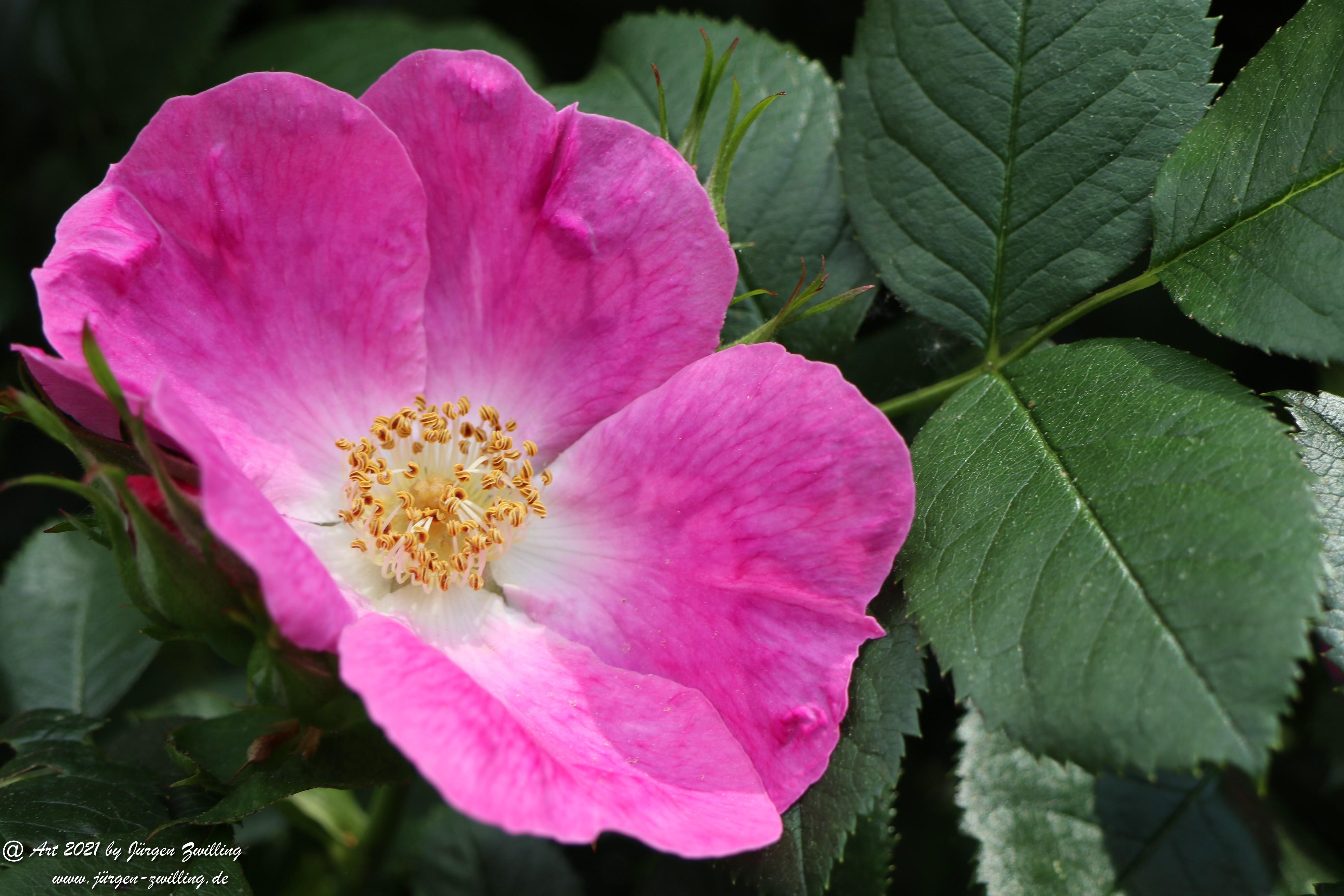 California Wild Rose pink 4