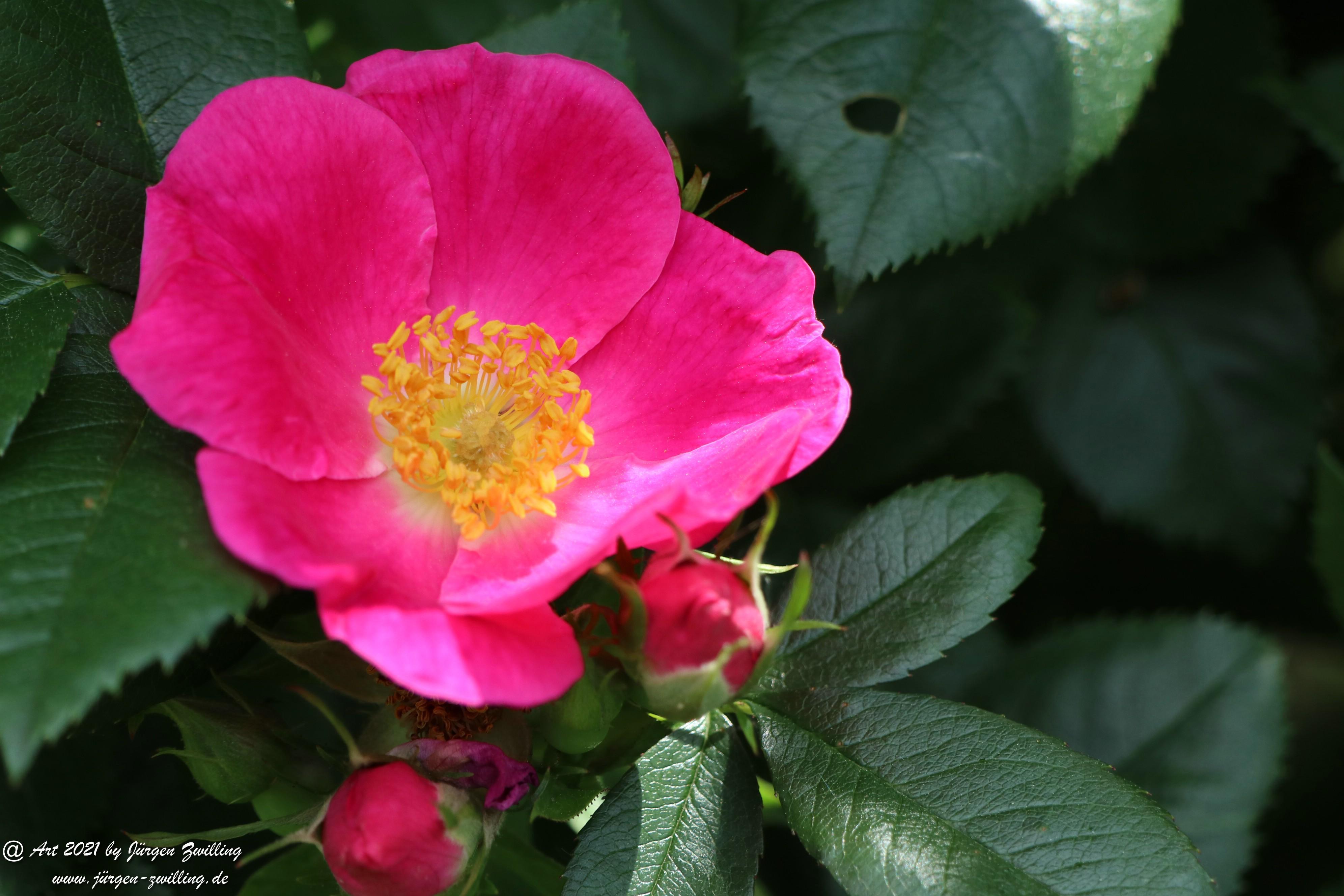 California Wild Rose pink 5