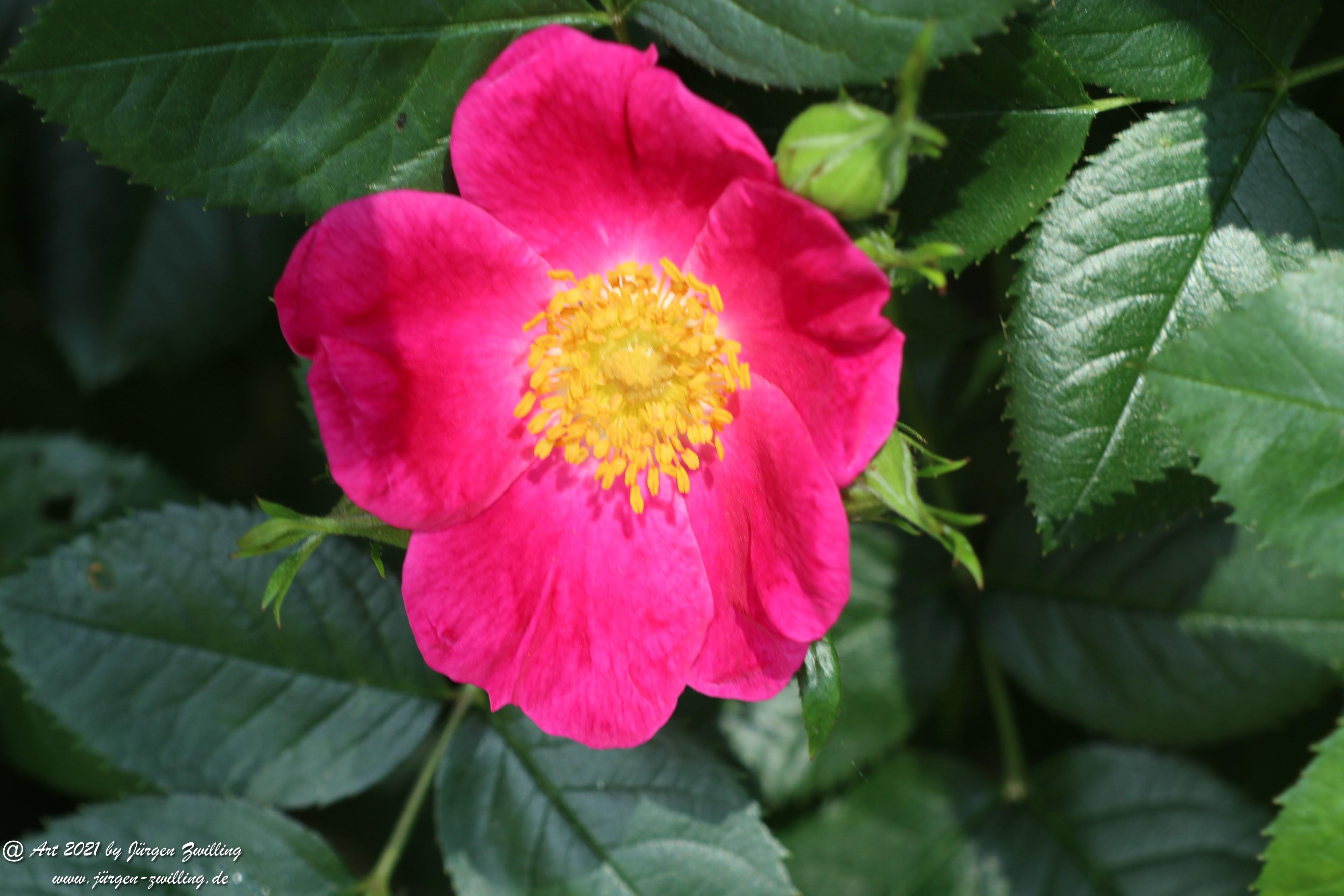 California Wild Rose pink 6