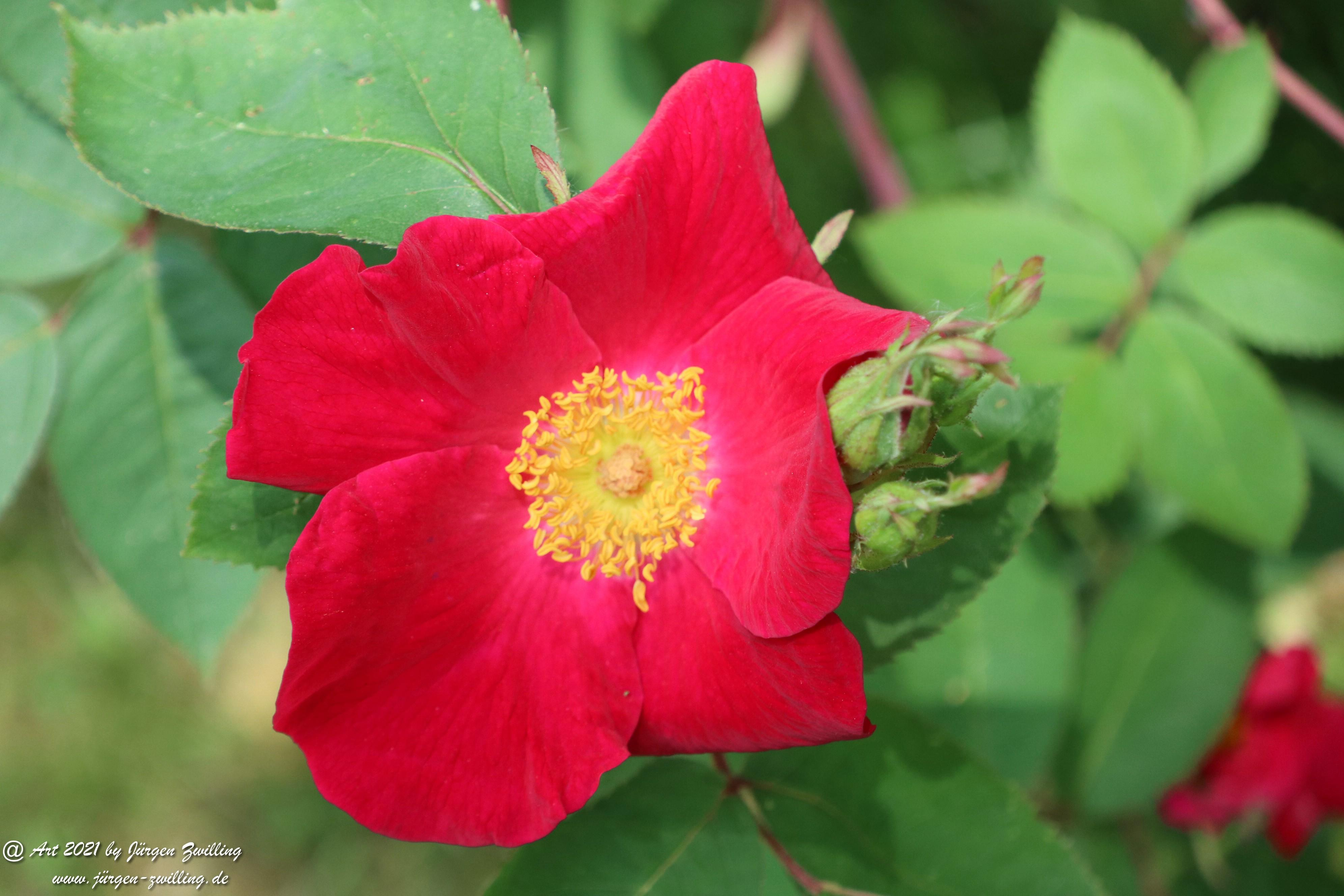 California Wild Rose rot 1