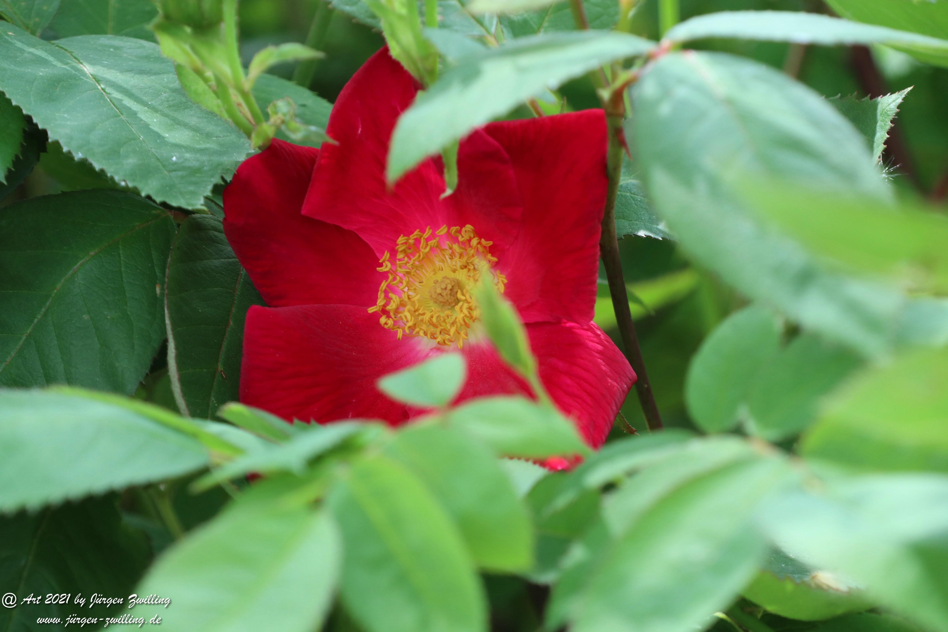 California Wild Rose rot 4