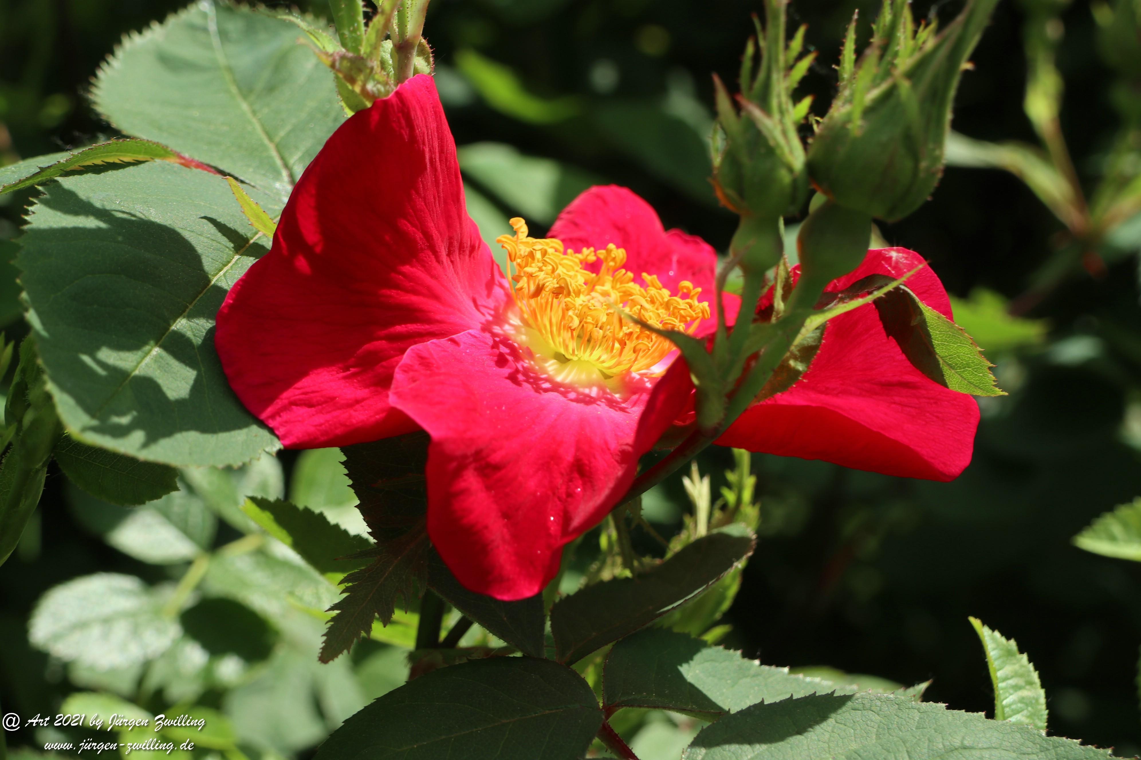 California Wild Rose rot 6
