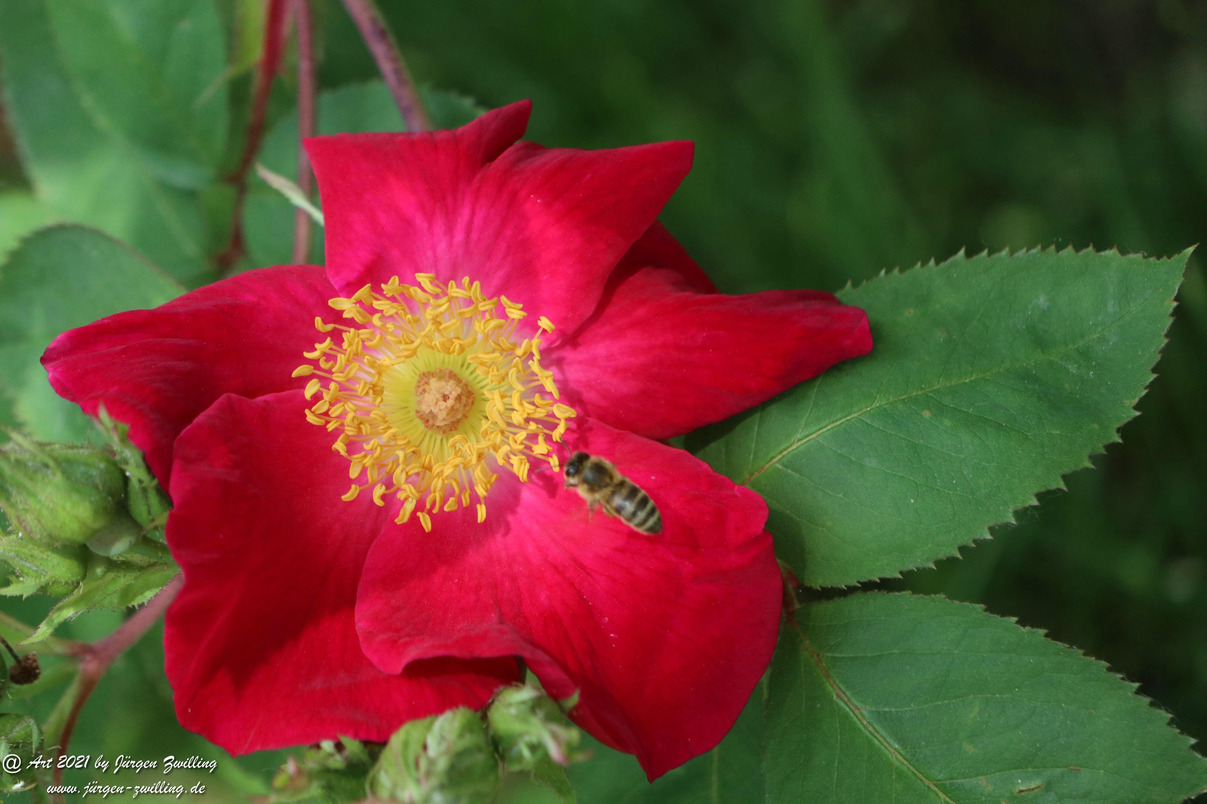 California Wild Rose rot 8