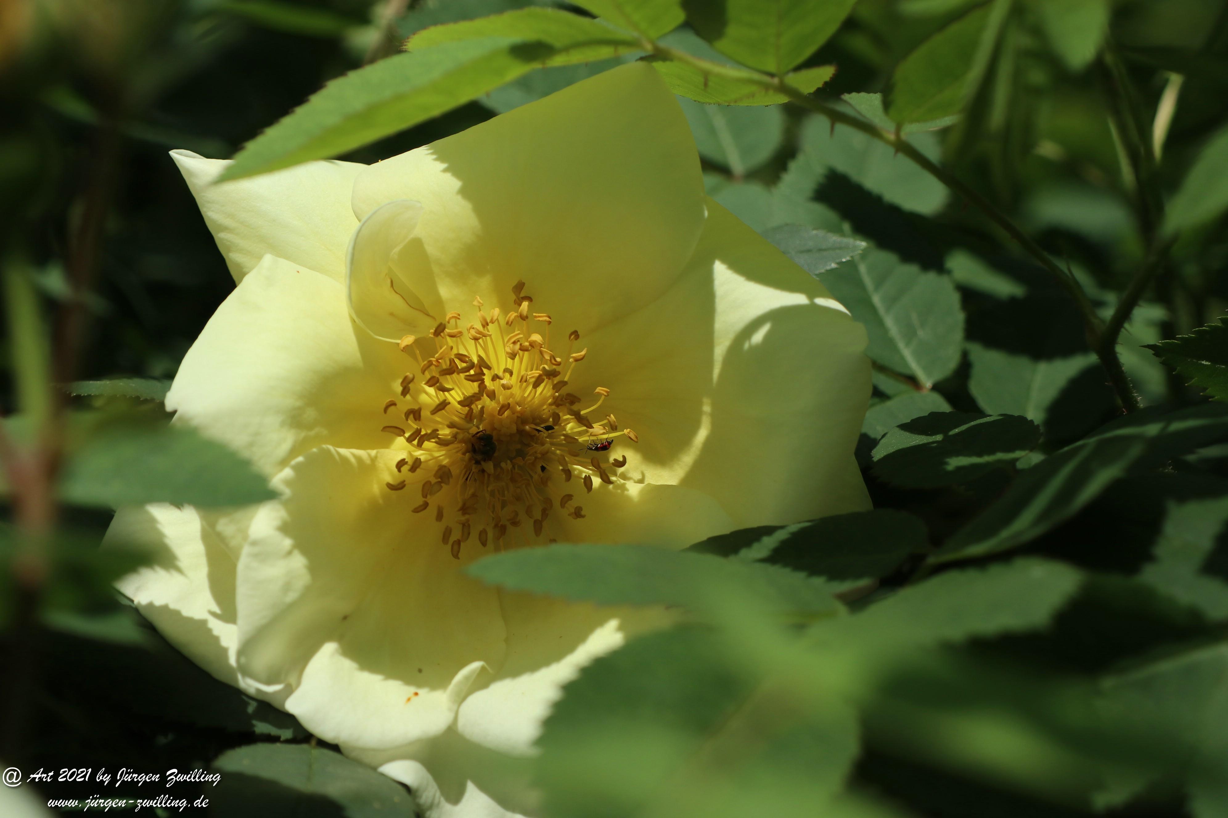 California Wild Rose weiß 3