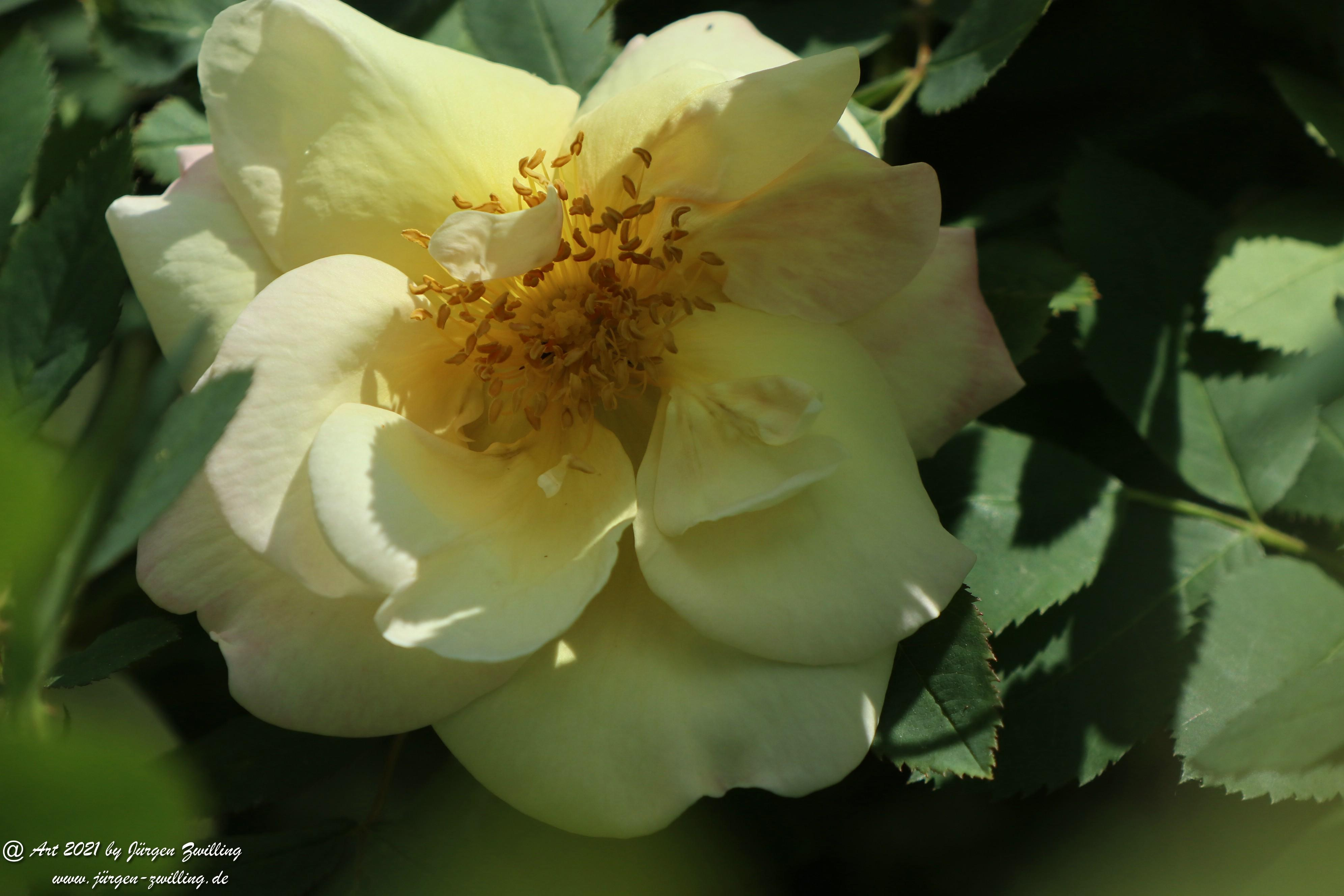 California Wild Rose weiß 4