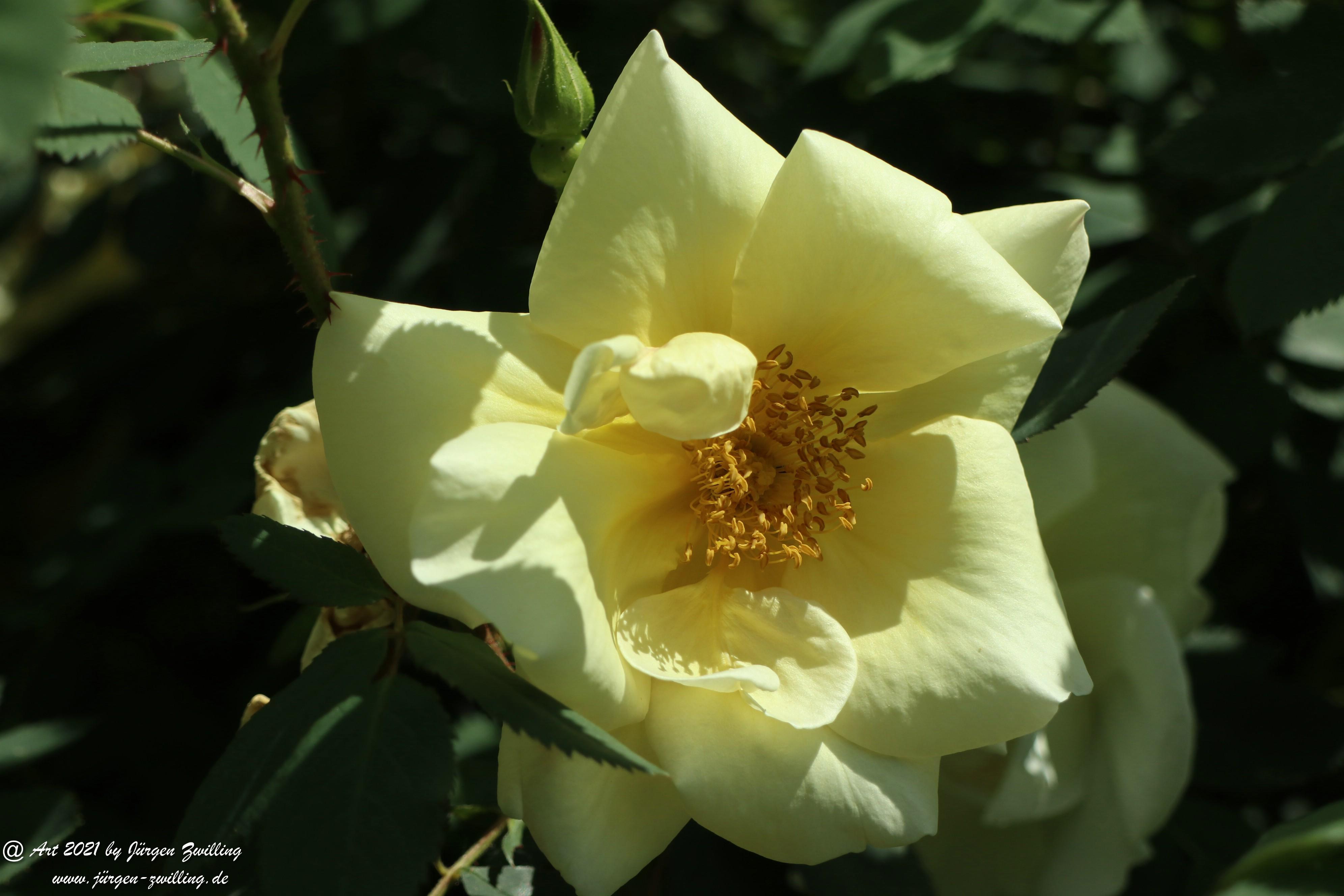 California Wild Rose weiß 5