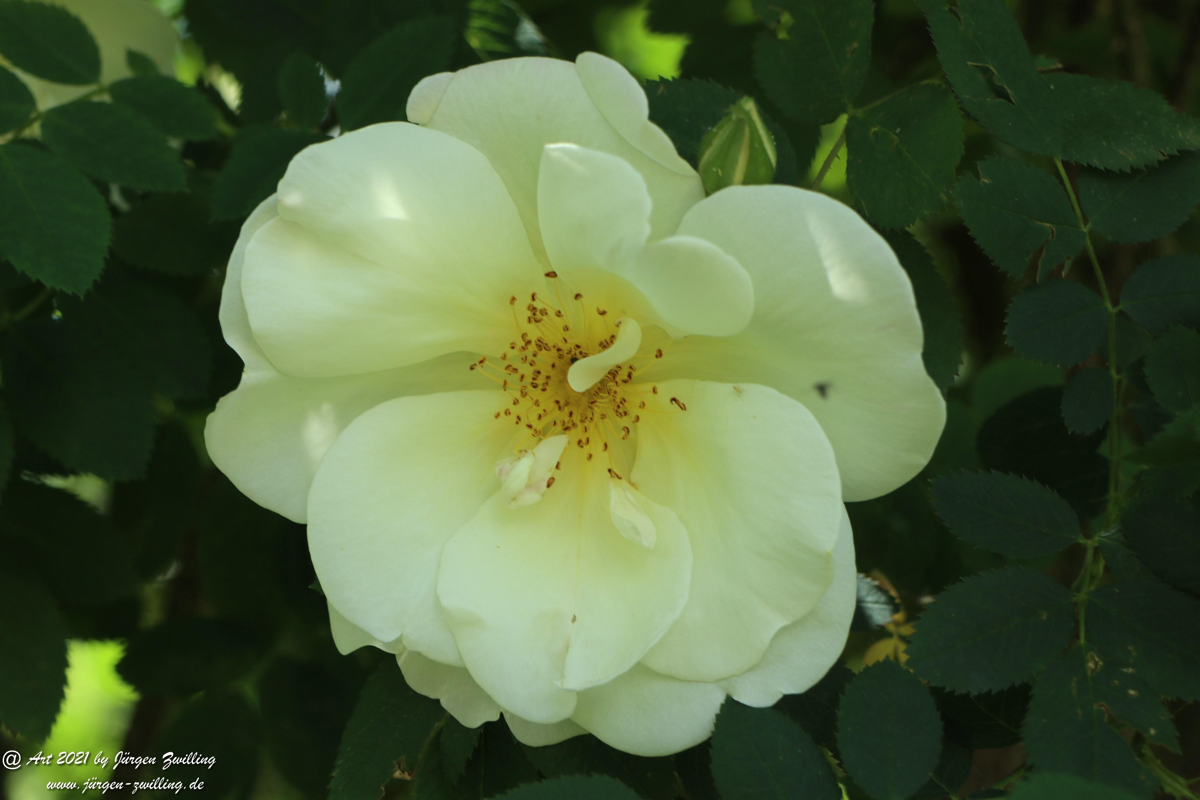California Wild Rose weiß 6