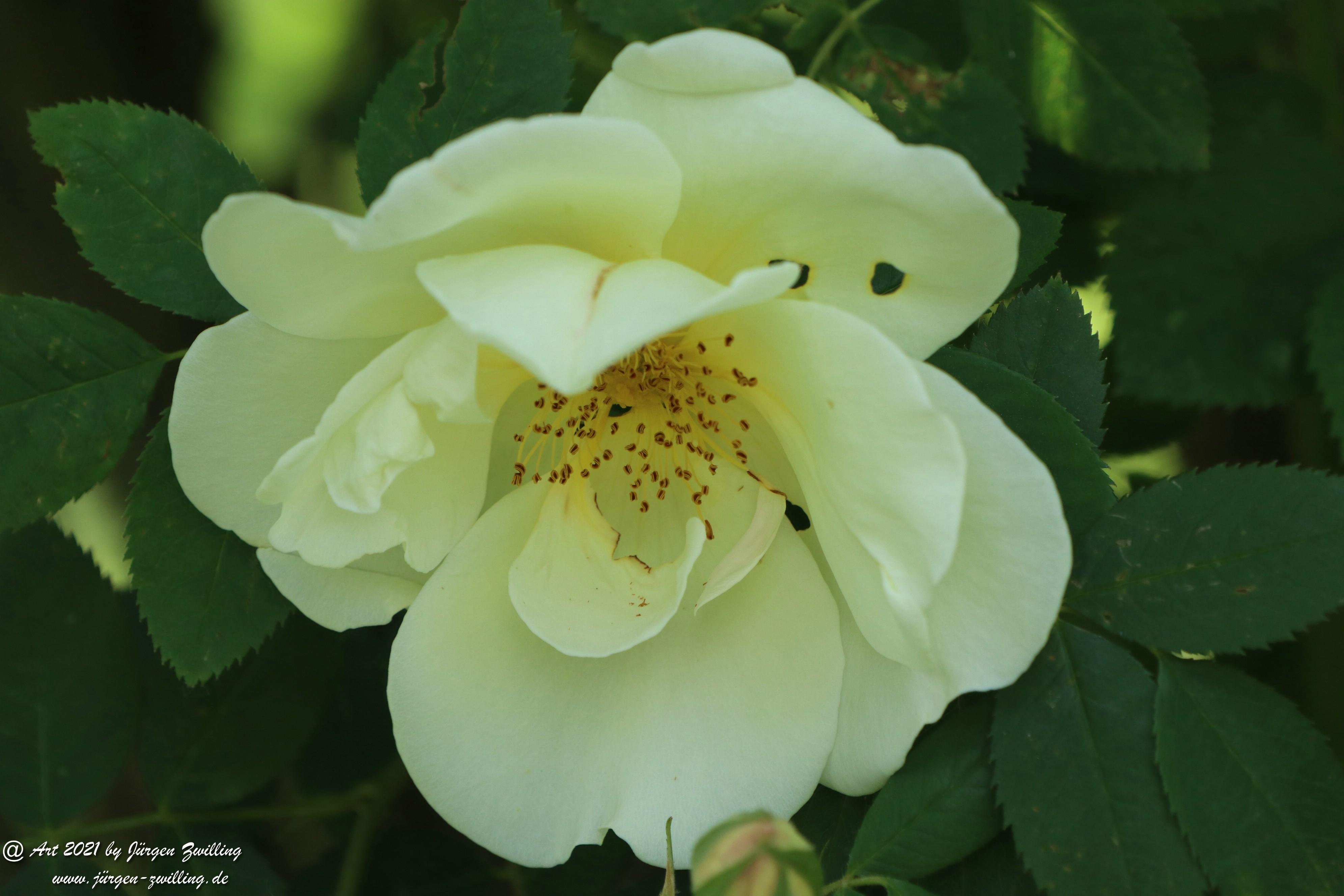 California Wild Rose weiß 7