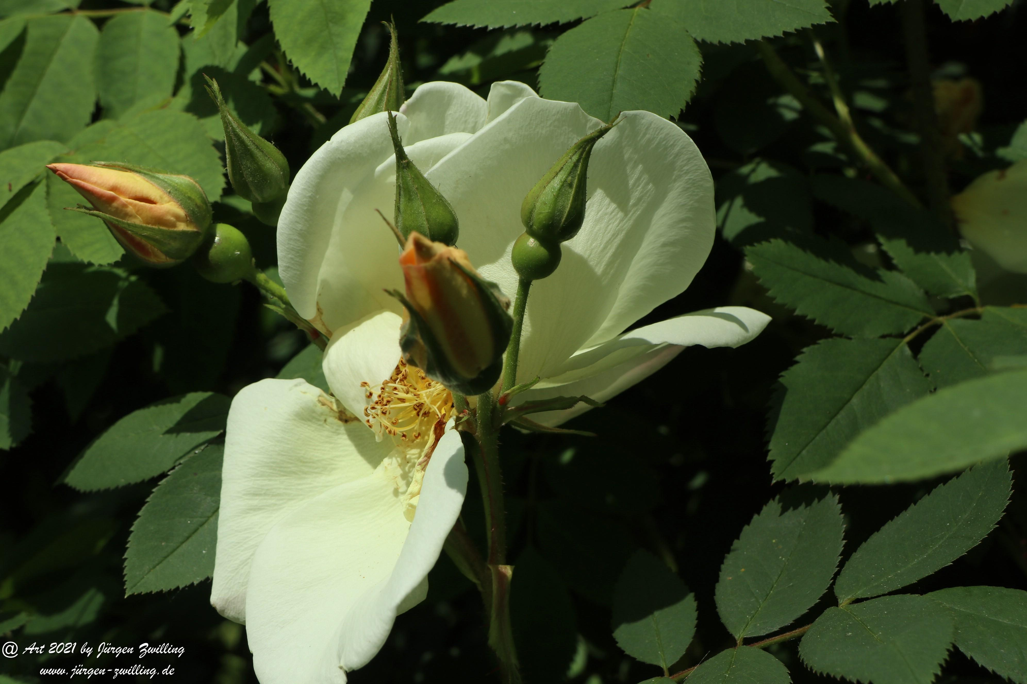California Wild Rose weiß 8