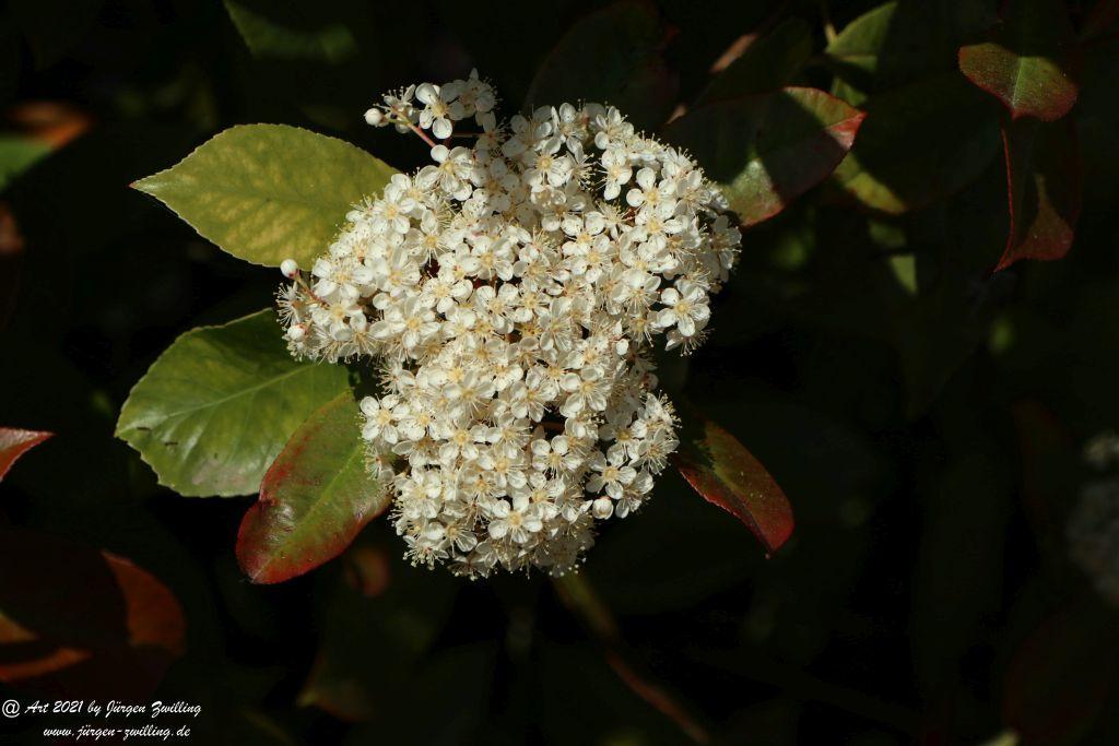 Heteromeles arbutifolia - Hackenheim - Rheinhessen