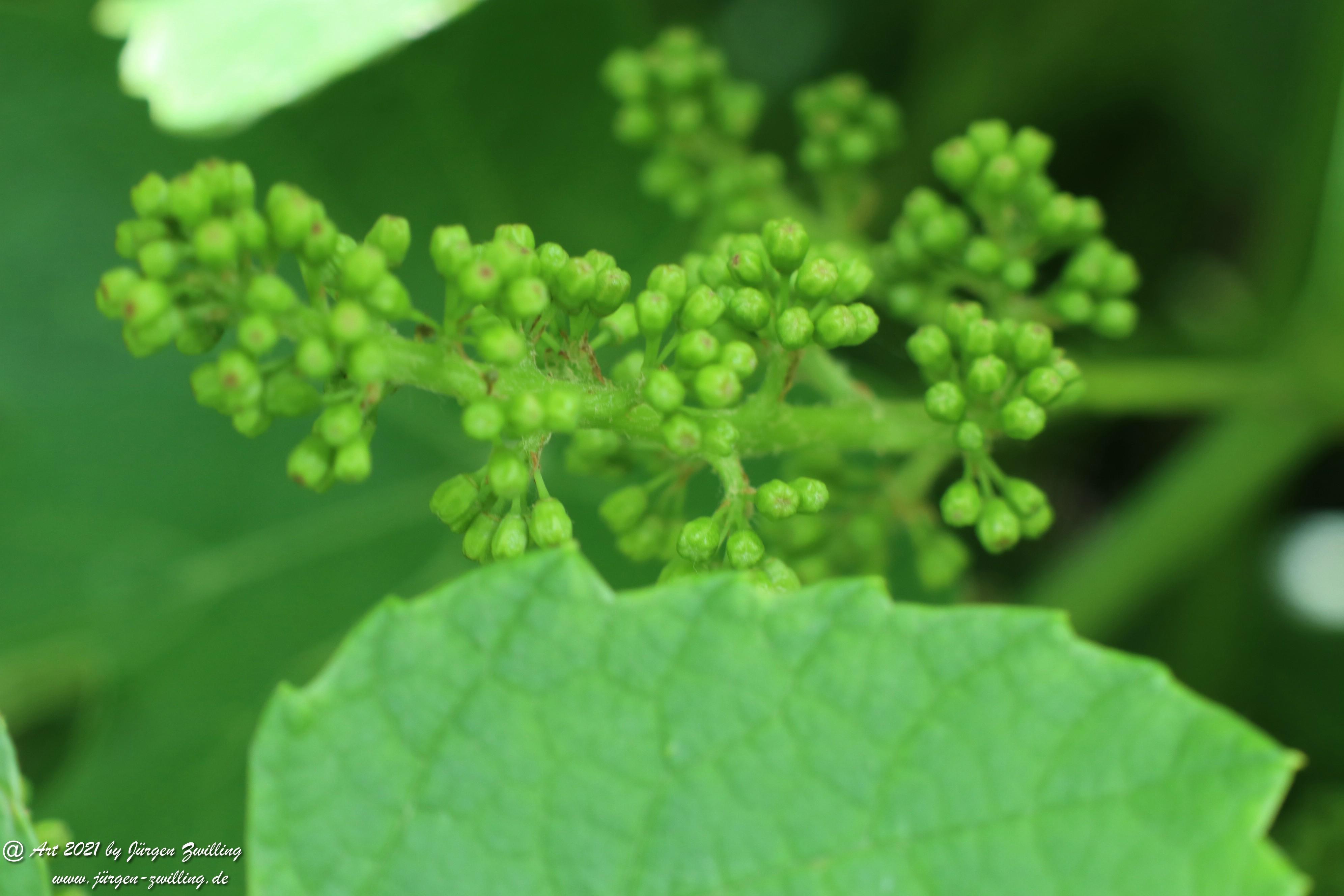 Junger Wein 4