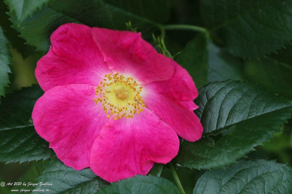 California Wild Rose pink  - Bad Kreuznach - Rheinhessen