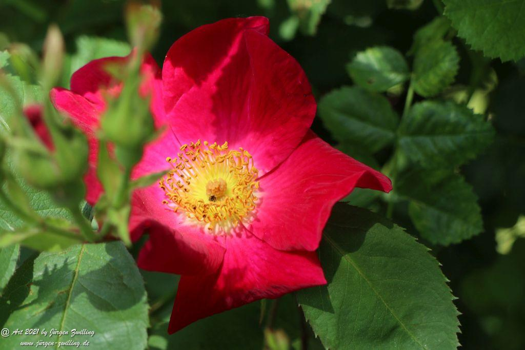 California Wild Rose rot  - Bad Kreuznach - Rheinhessen