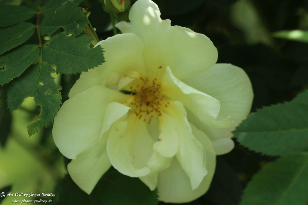 California Wild Rose weiß  - Bad Kreuznach - Rheinhessen