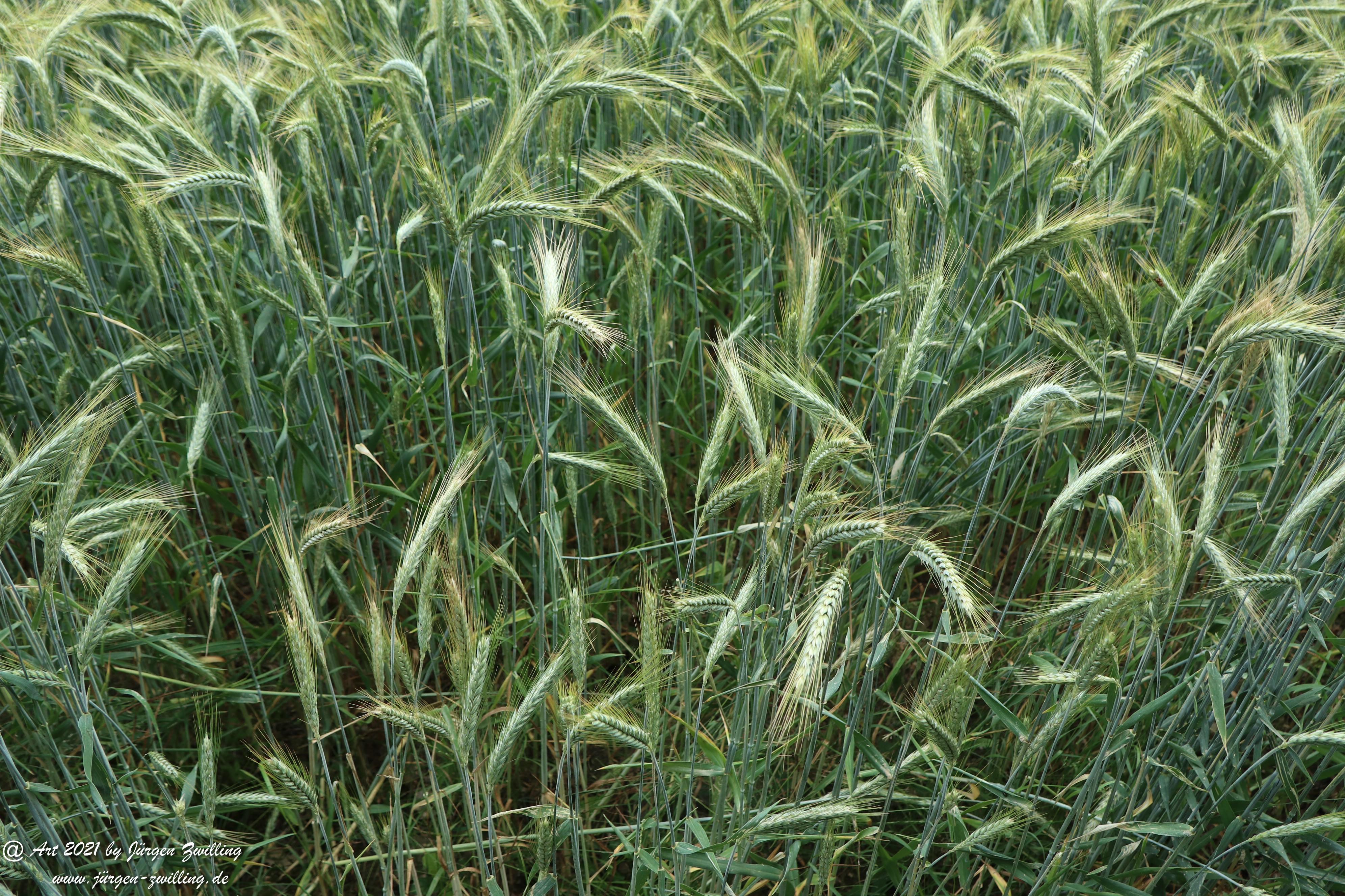 Getreide 6