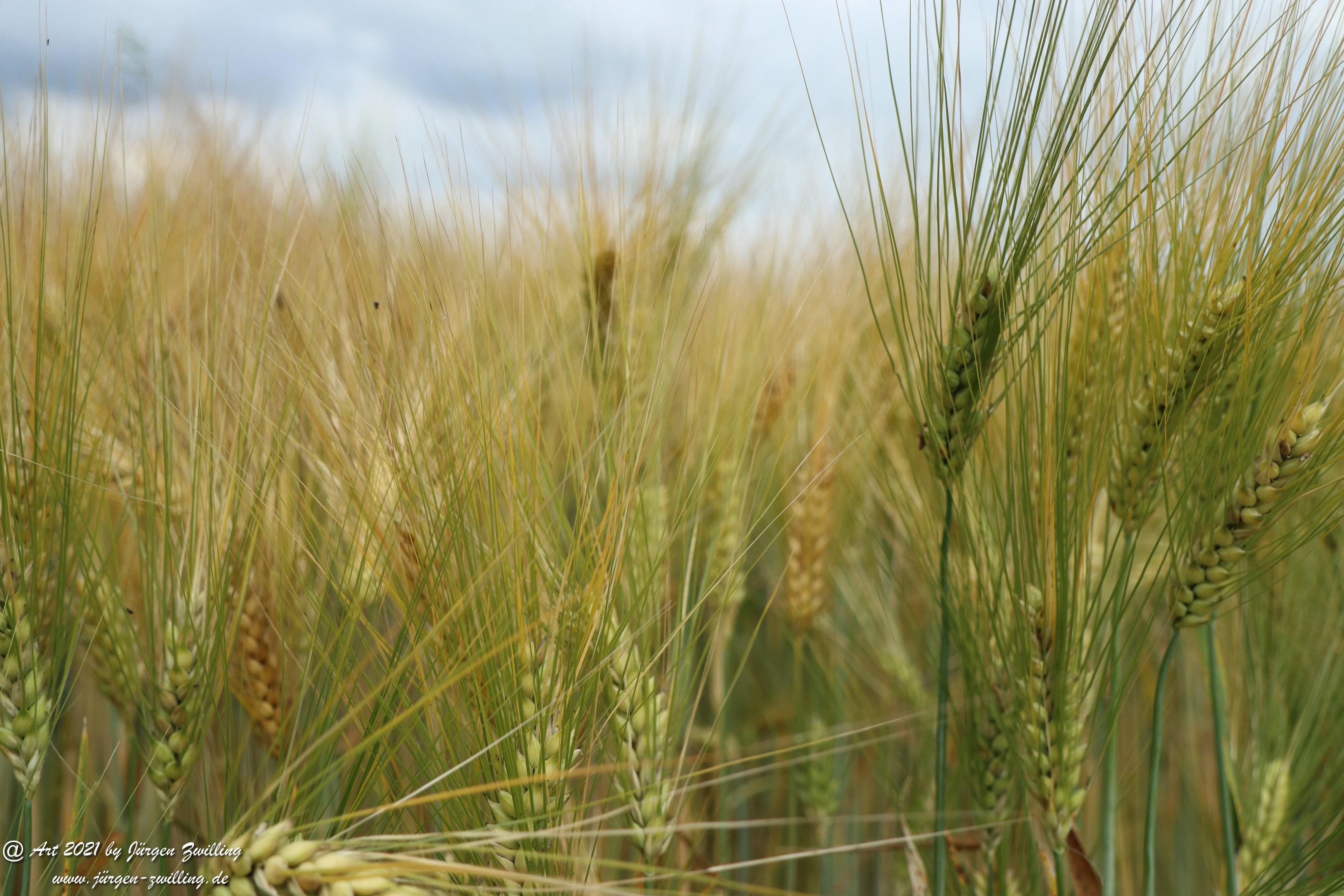 Getreide 8