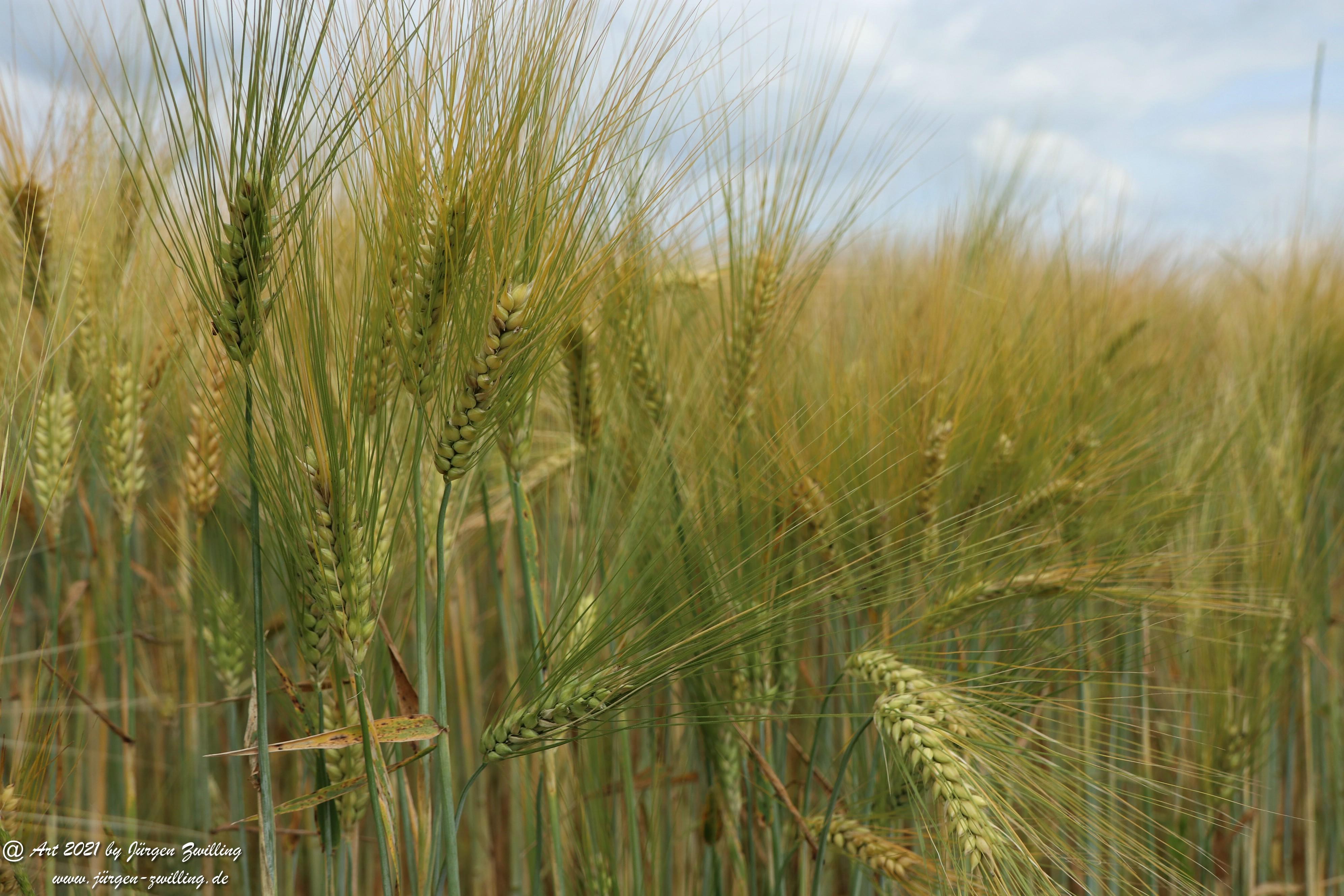 Getreide 9